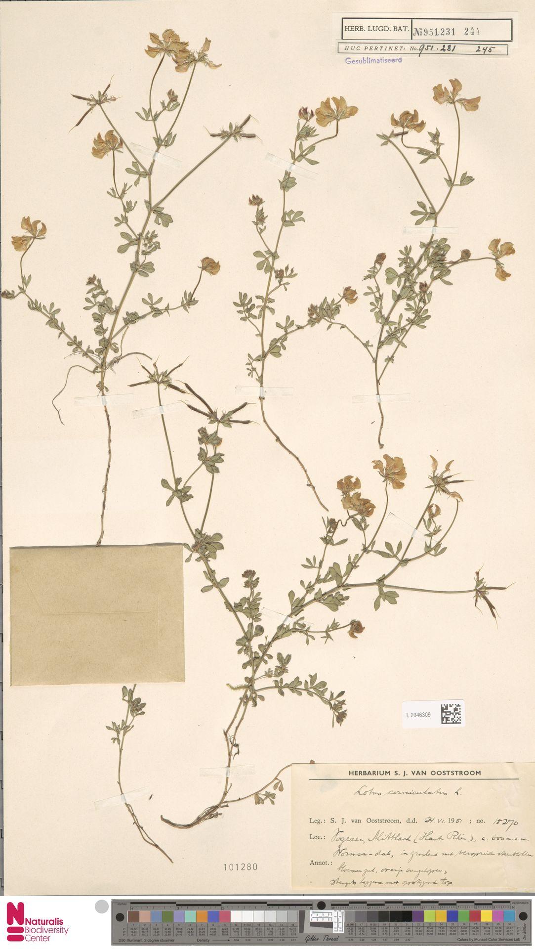 L.2046309 | Lotus corniculatus L.