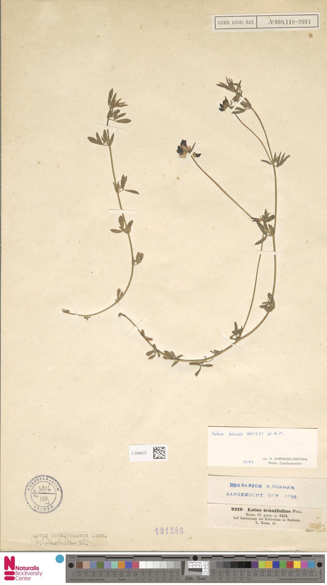 L.2046572 | Lotus corniculatus L.