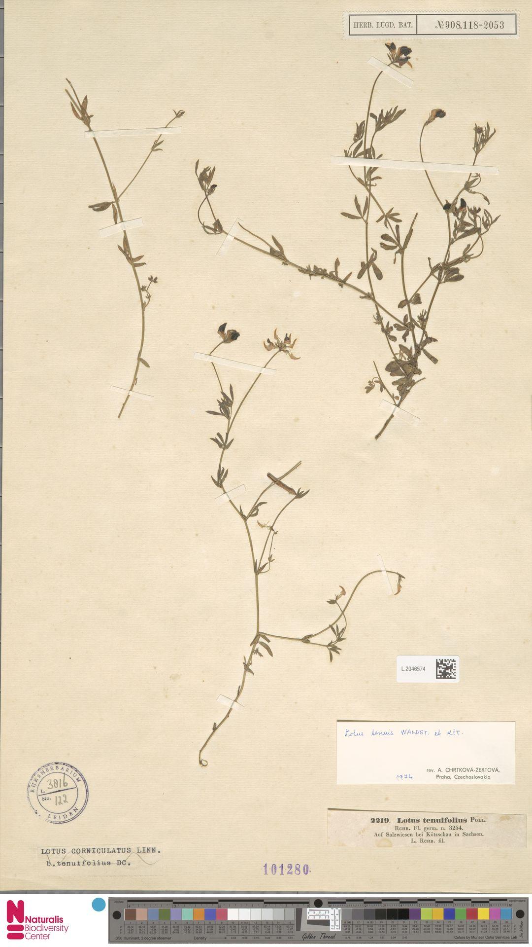 L.2046574 | Lotus corniculatus L.