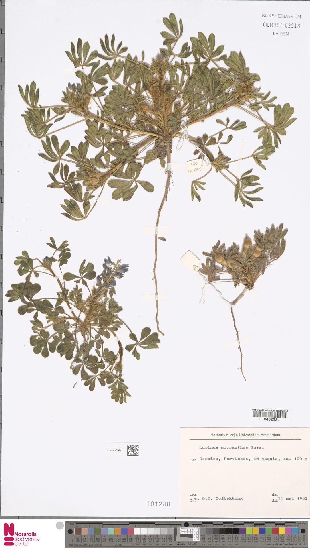 L.2047299 | Lupinus micranthus Guss.