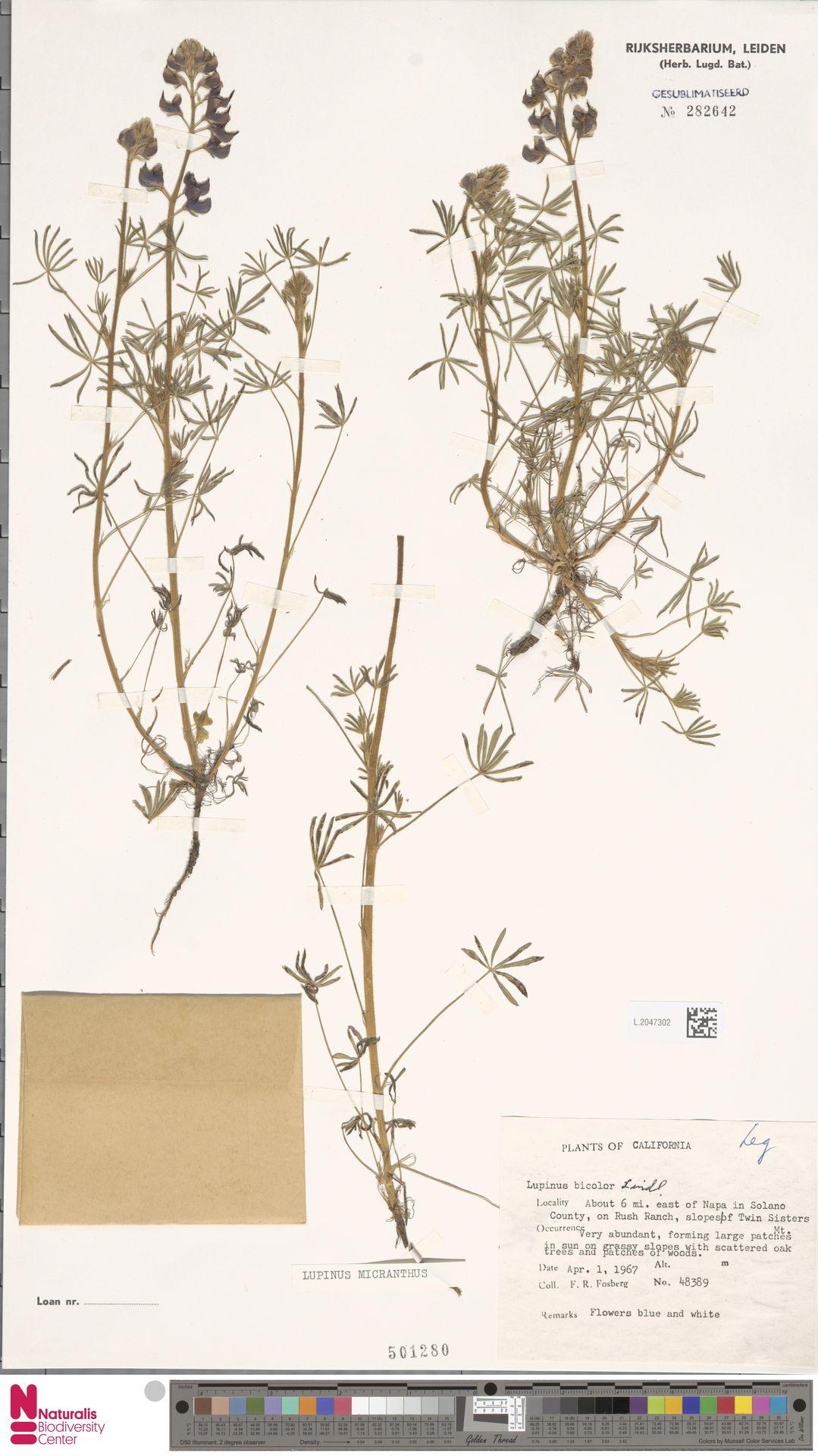 L.2047302   Lupinus micranthus Douglas ex Lindl.
