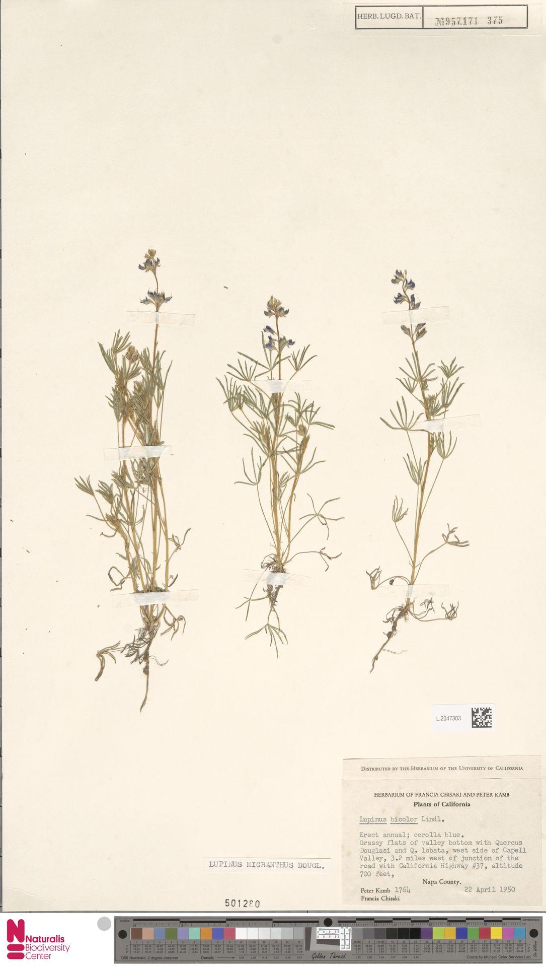 L.2047303 | Lupinus micranthus Douglas ex Lindl.