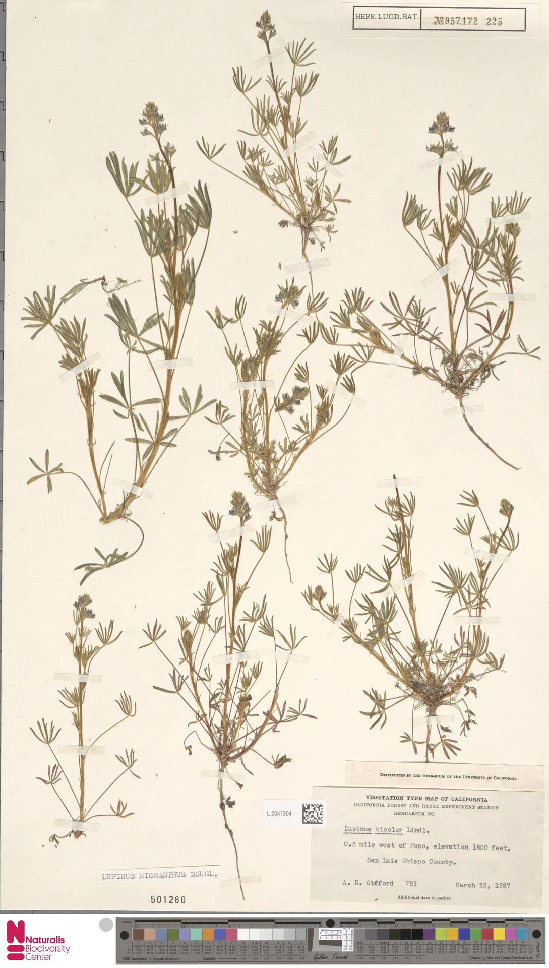 L.2047304 | Lupinus micranthus Douglas ex Lindl.
