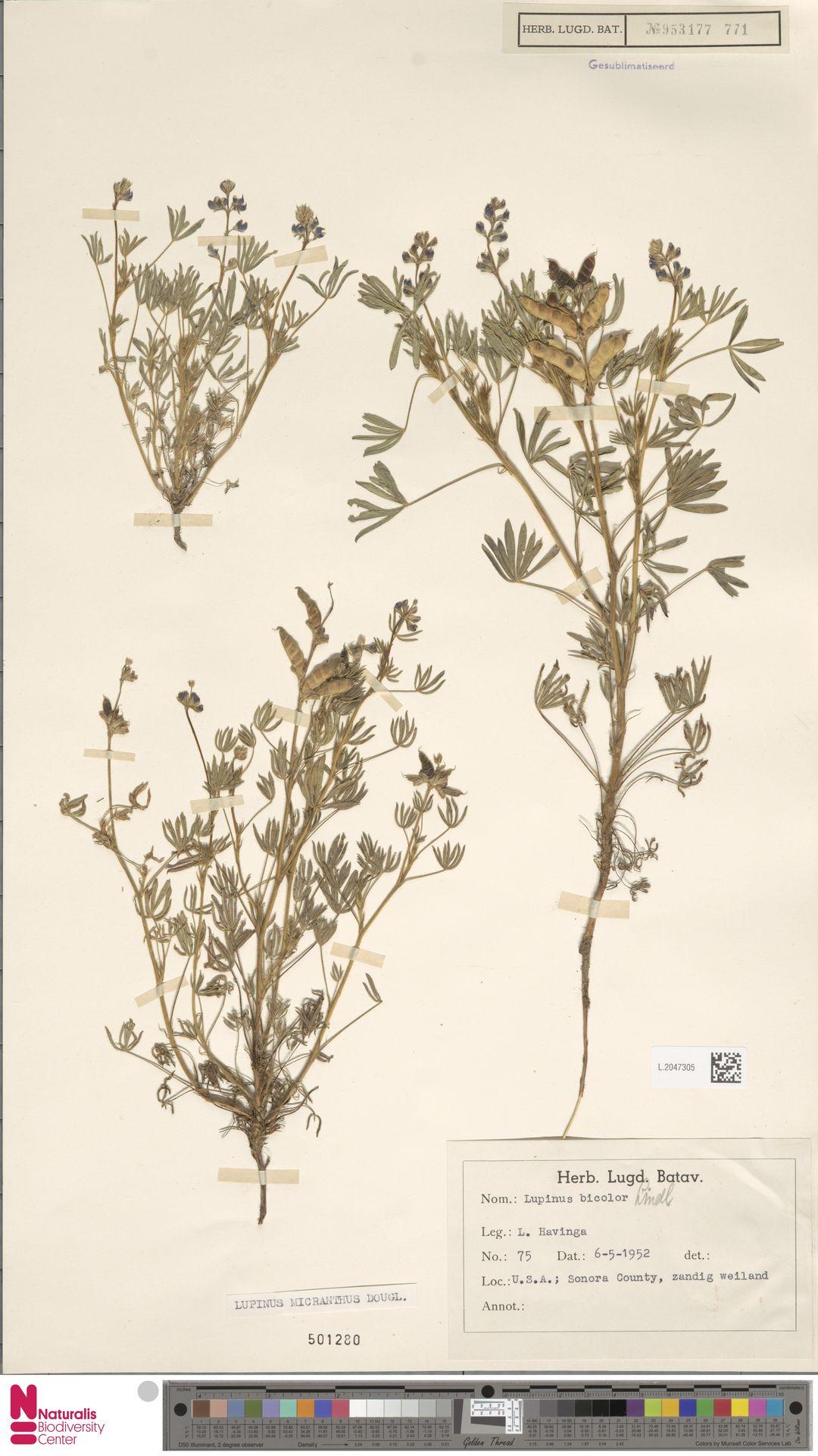 L.2047305 | Lupinus micranthus Douglas ex Lindl.