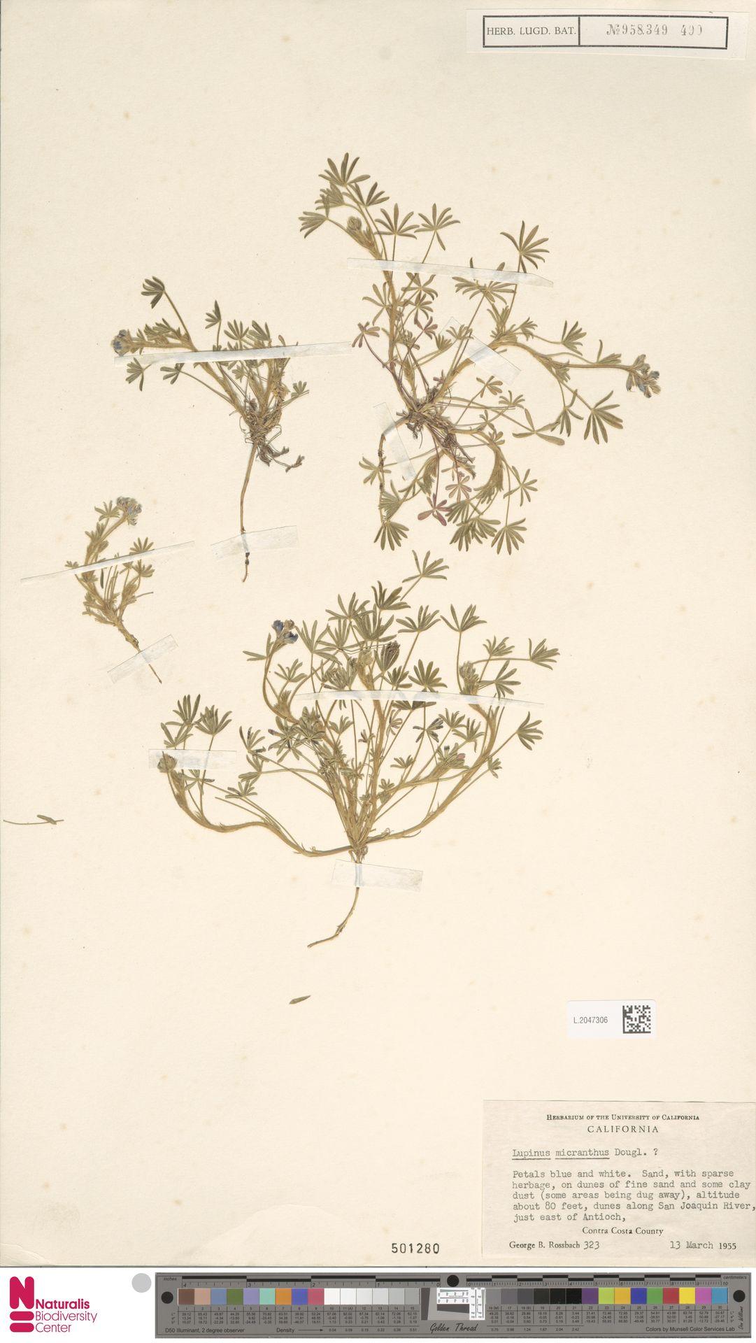 L.2047306 | Lupinus micranthus Douglas ex Lindl.