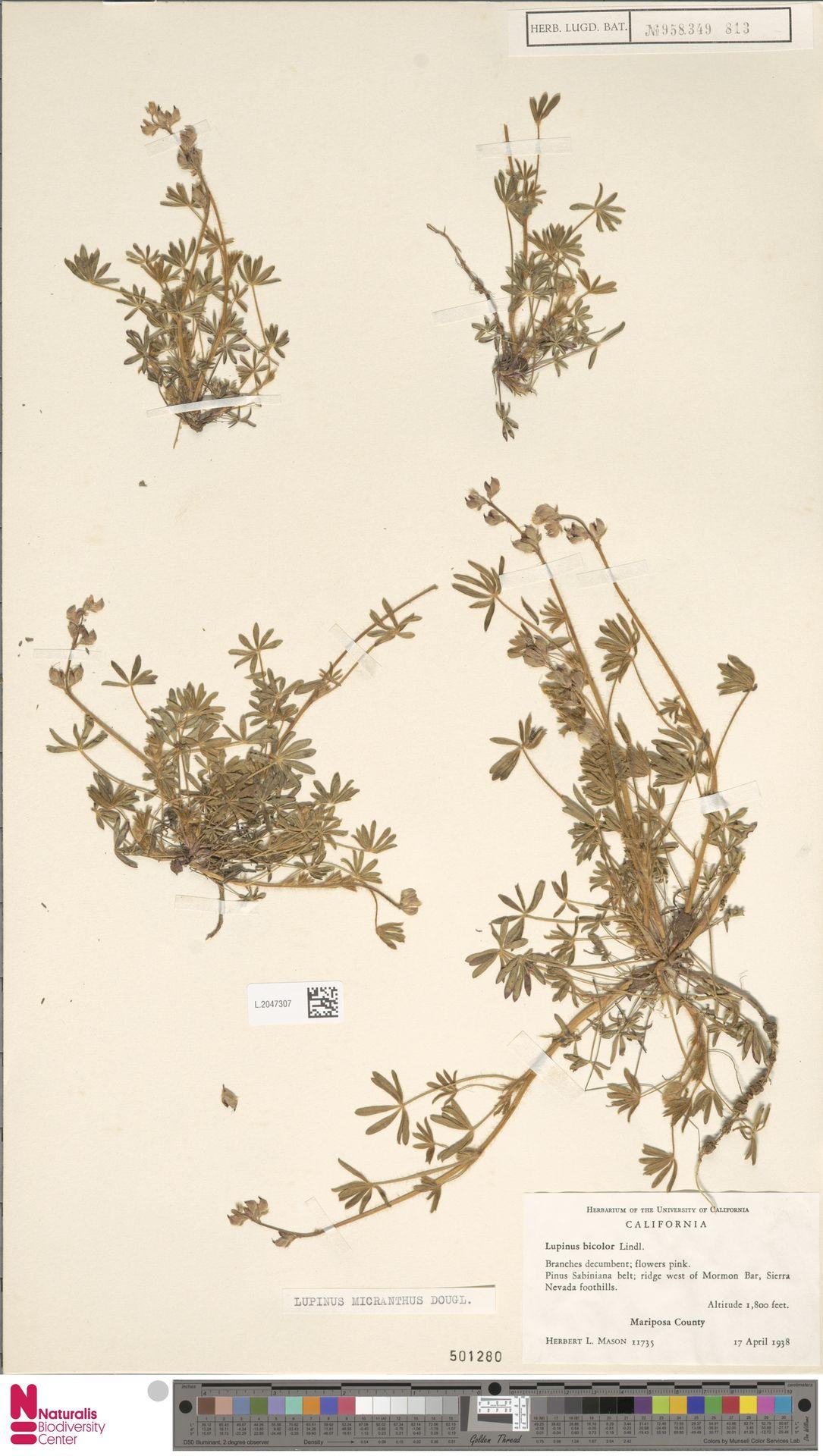 L.2047307   Lupinus micranthus Douglas ex Lindl.