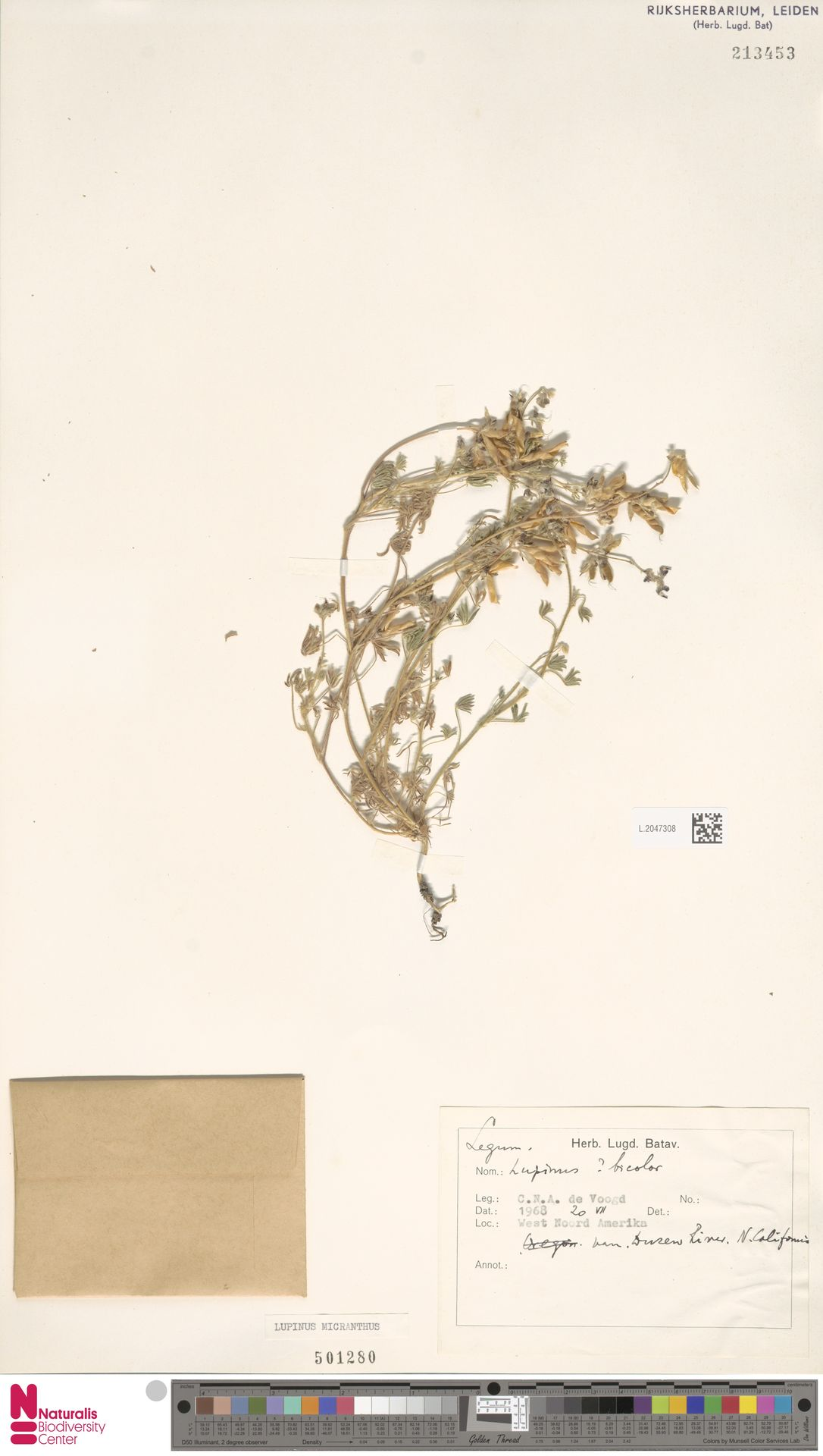 L.2047308   Lupinus micranthus Douglas ex Lindl.