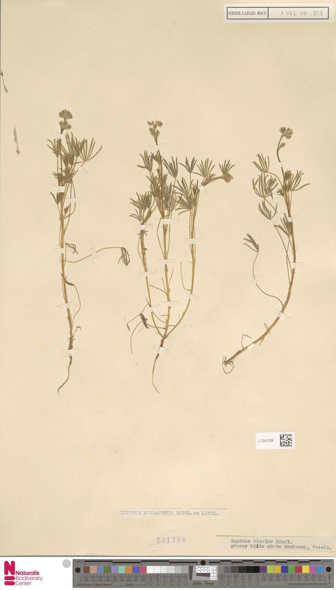 L.2047309 | Lupinus micranthus Douglas ex Lindl.