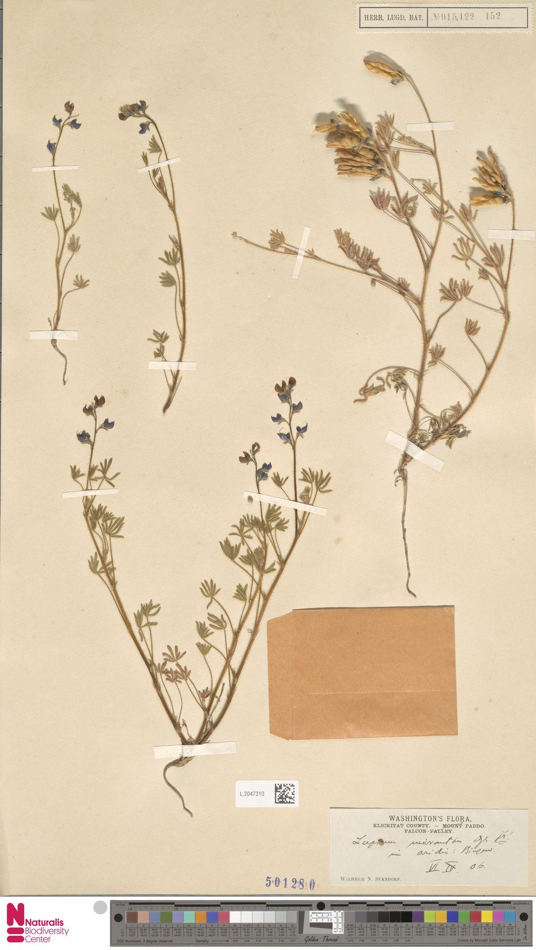 L.2047310 | Lupinus micranthus Douglas ex Lindl.