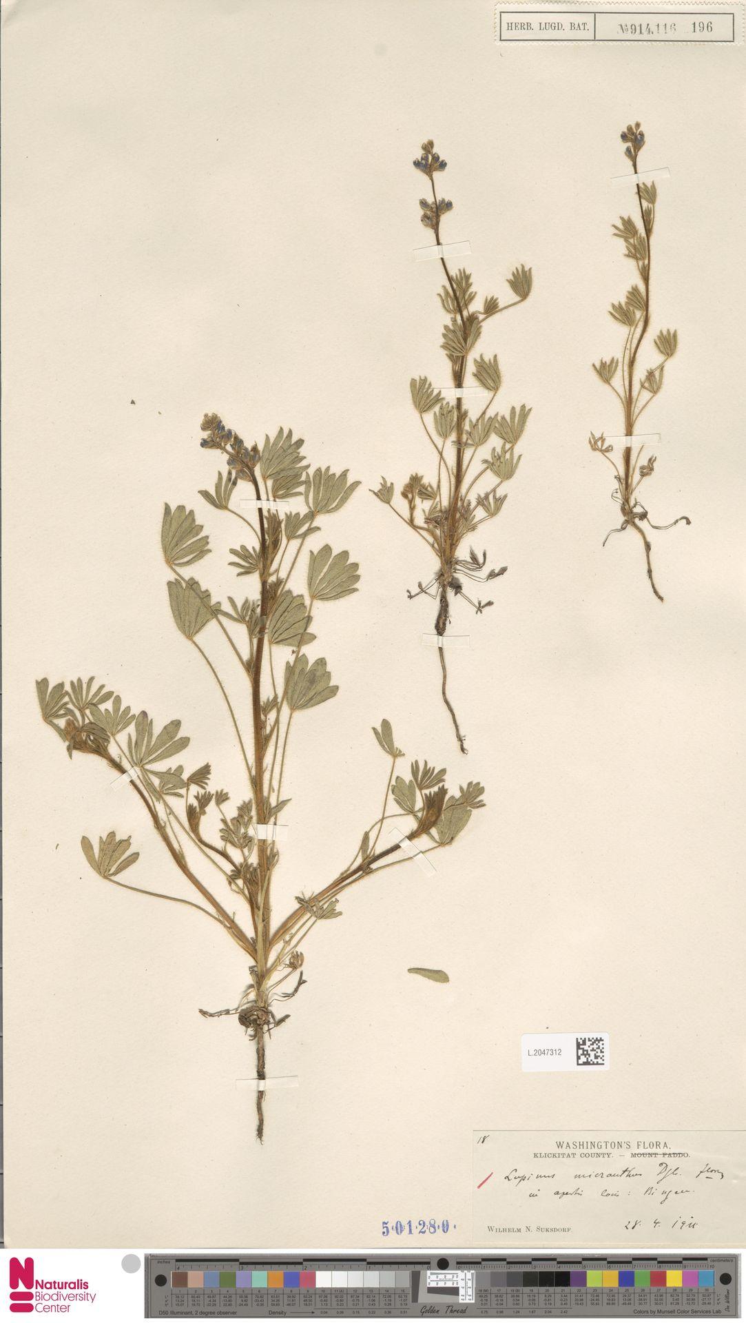 L.2047312 | Lupinus micranthus Douglas ex Lindl.