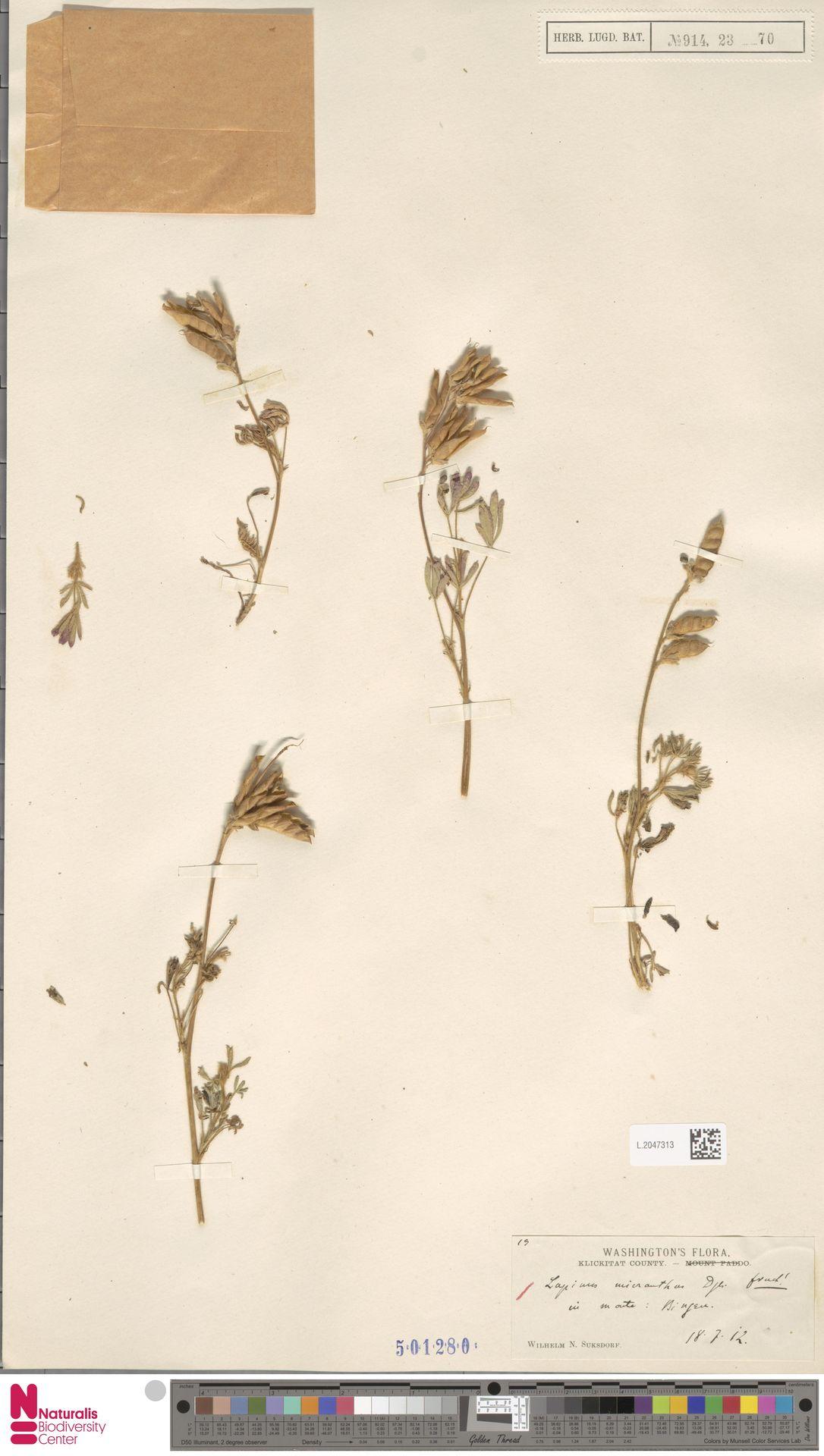 L.2047313 | Lupinus micranthus Douglas ex Lindl.