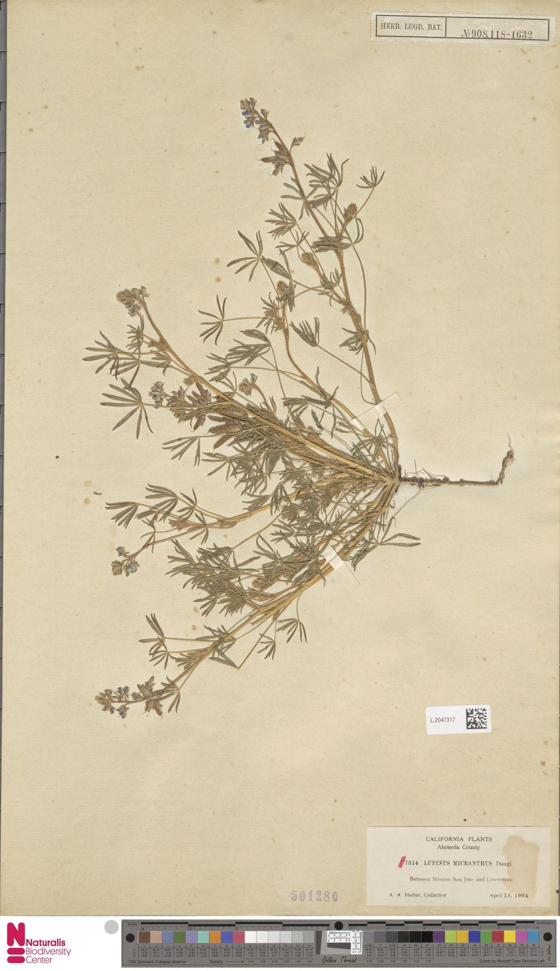 L.2047317 | Lupinus micranthus Douglas ex Lindl.
