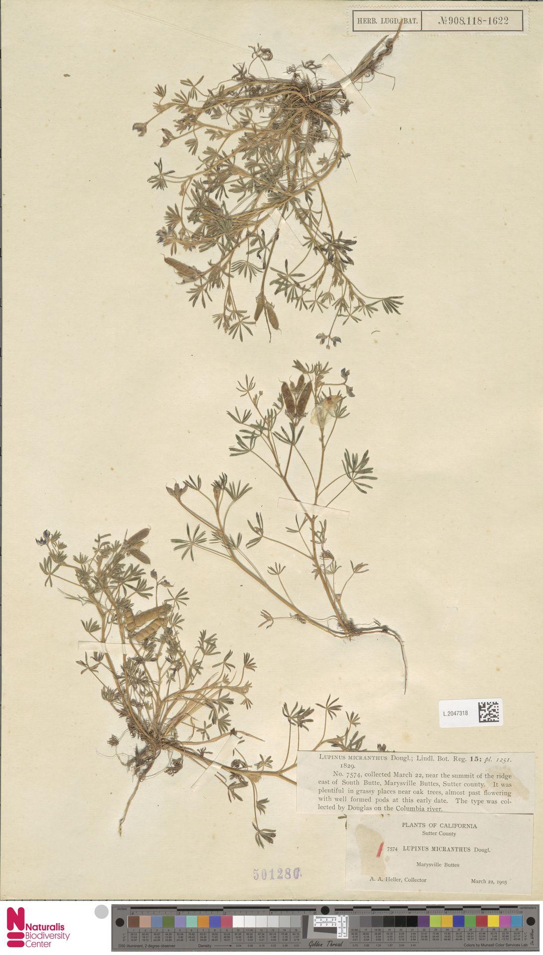 L.2047318 | Lupinus micranthus Douglas ex Lindl.