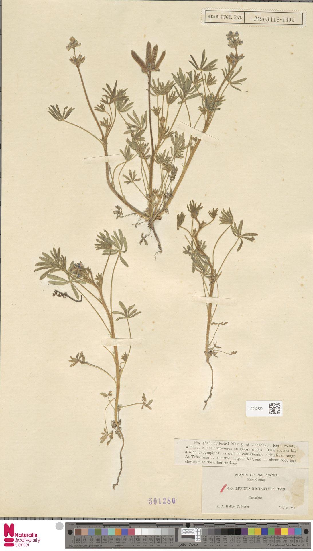 L.2047320   Lupinus micranthus Douglas ex Lindl.