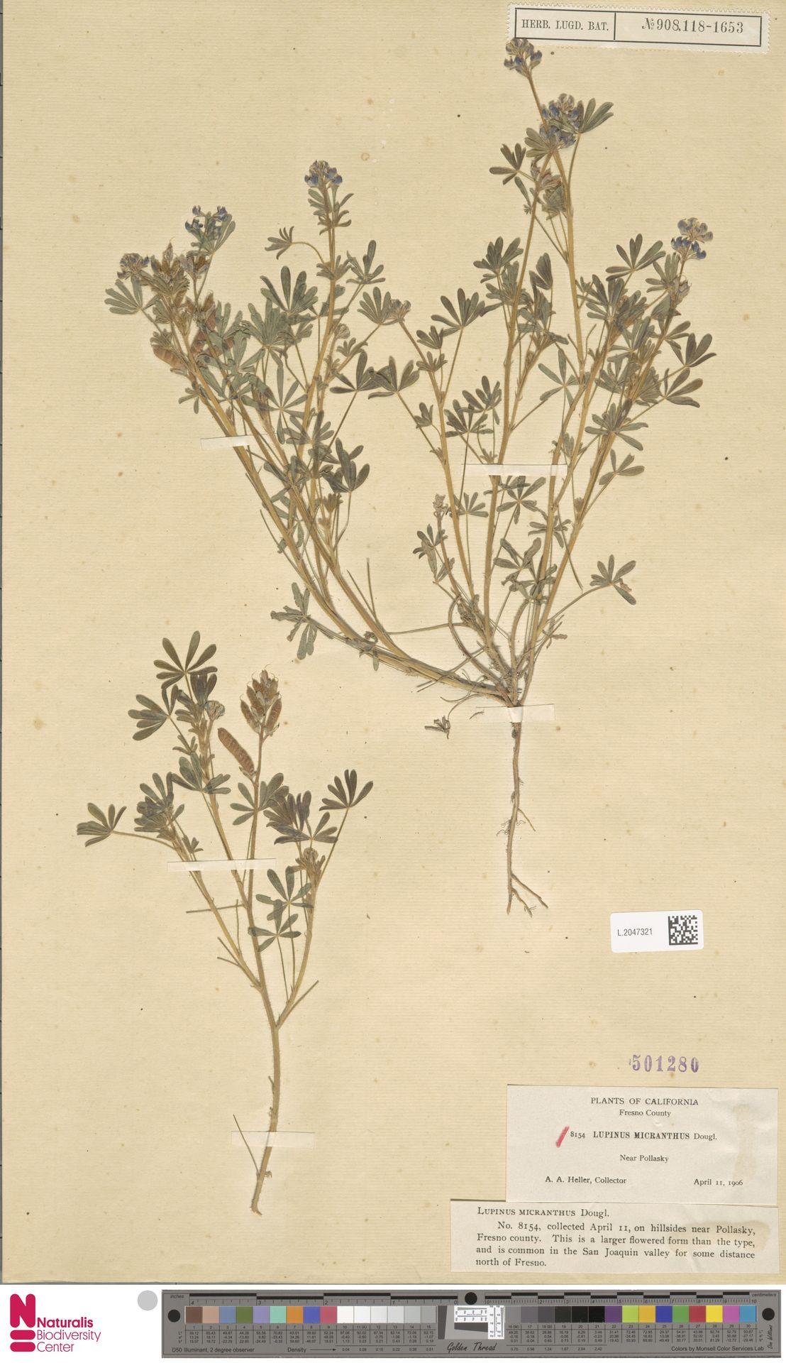 L.2047321 | Lupinus micranthus Douglas ex Lindl.