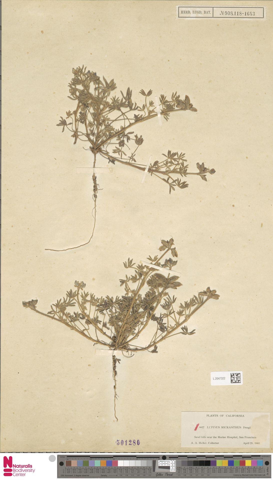 L.2047322 | Lupinus micranthus Douglas ex Lindl.