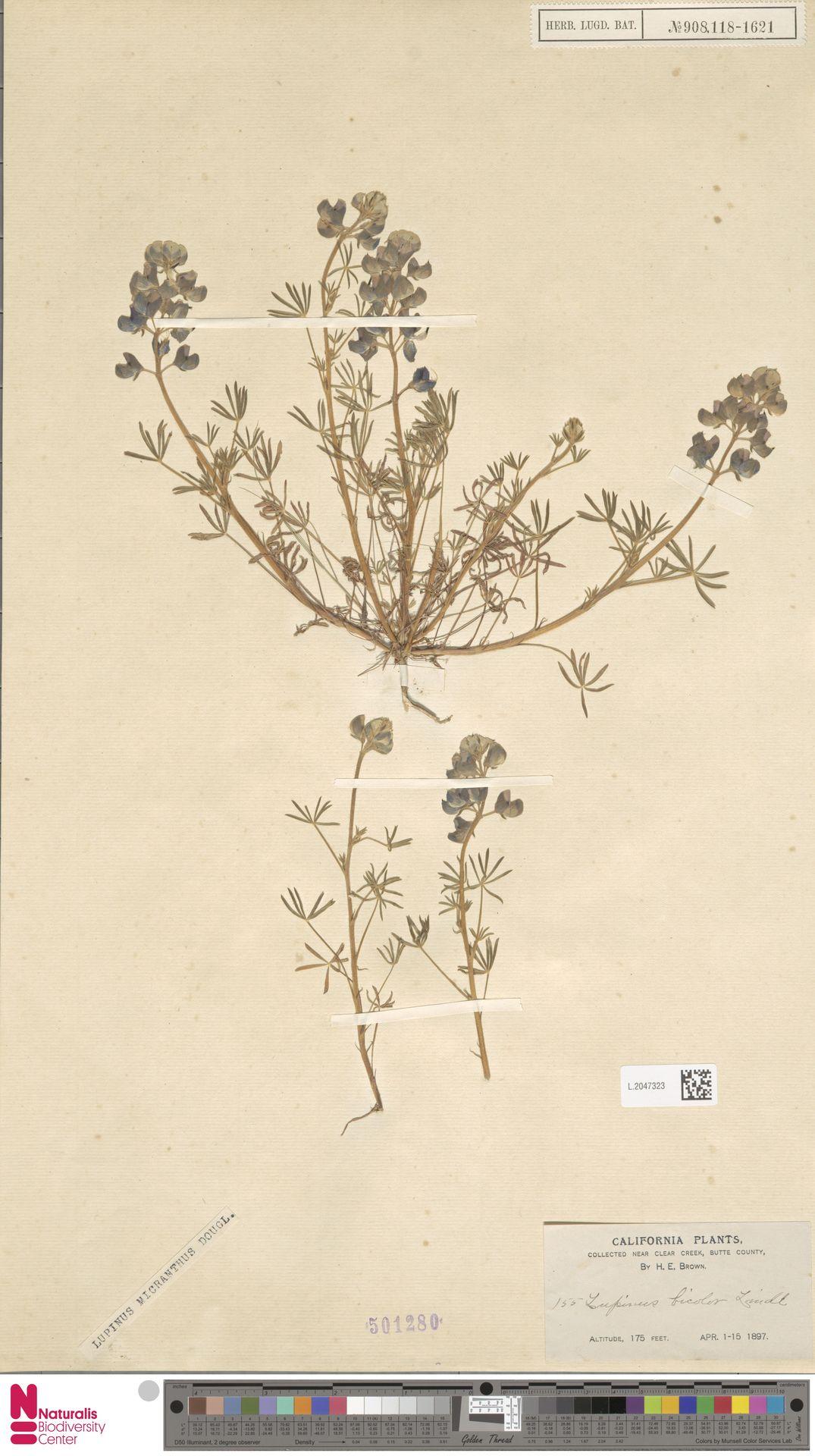 L.2047323 | Lupinus micranthus Douglas ex Lindl.