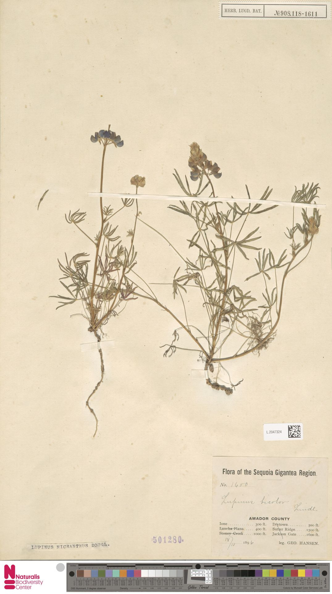 L.2047324 | Lupinus micranthus Douglas ex Lindl.