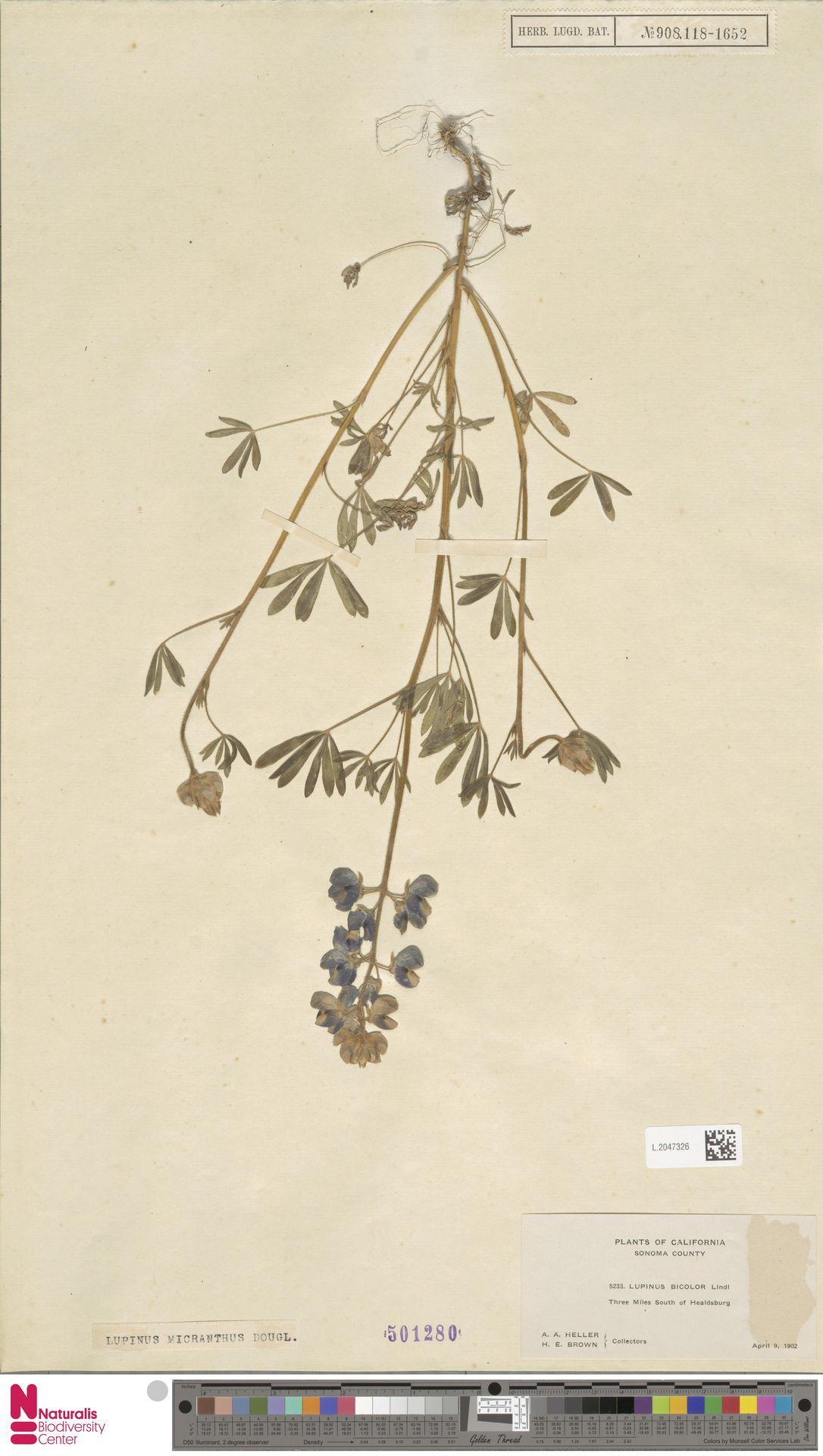 L.2047326 | Lupinus micranthus Douglas ex Lindl.