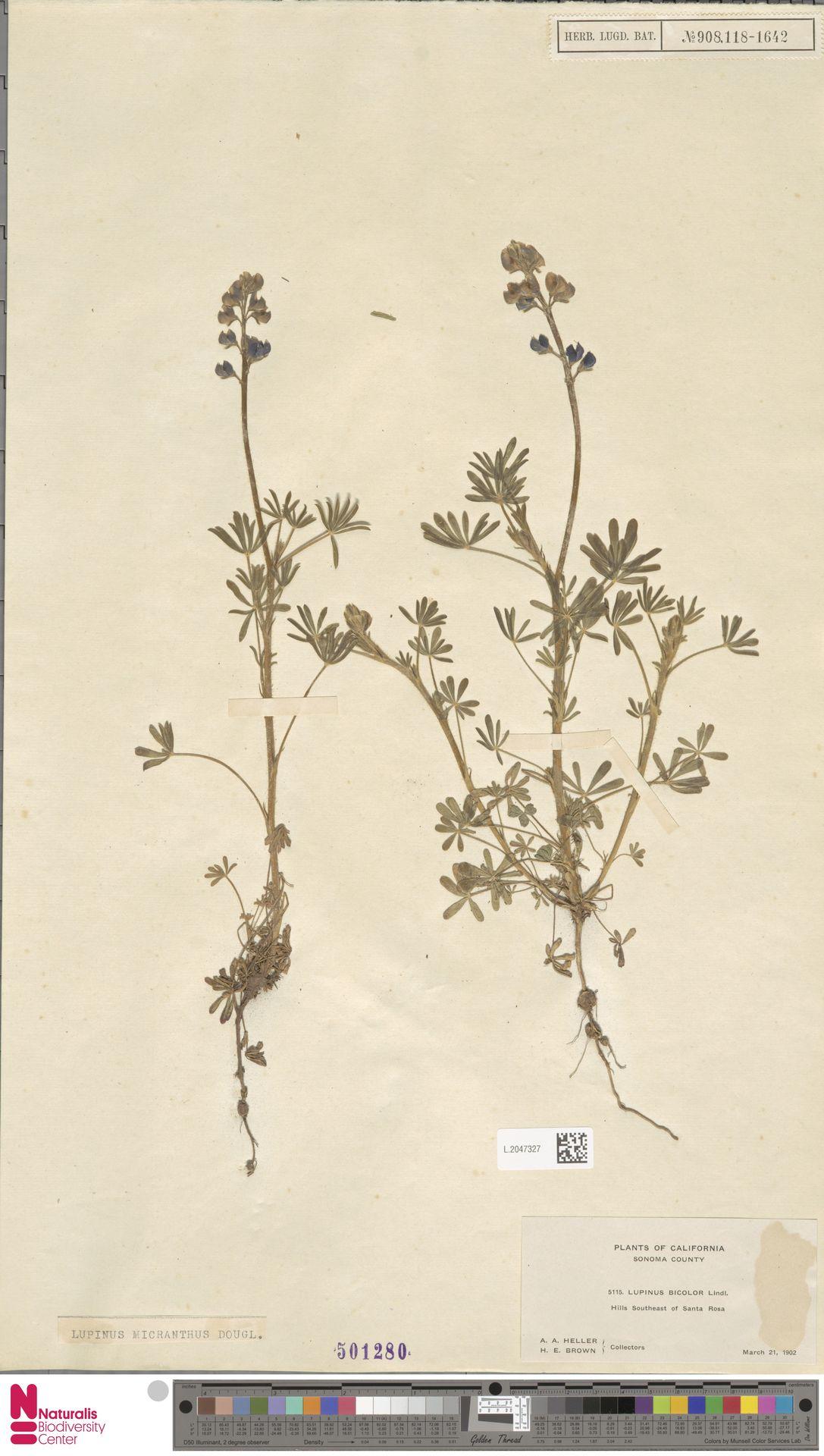 L.2047327 | Lupinus micranthus Douglas ex Lindl.
