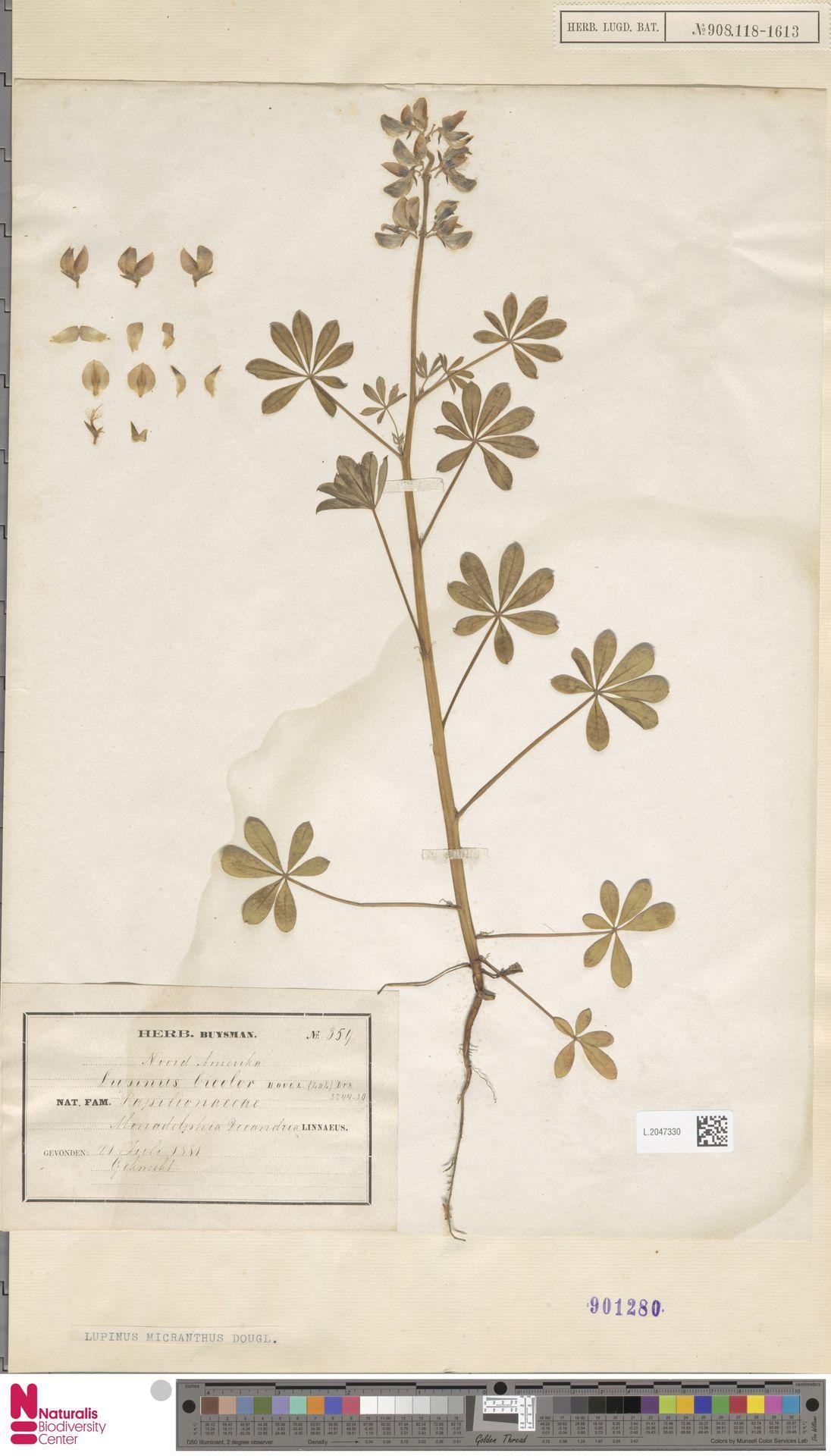L.2047330 | Lupinus micranthus Douglas ex Lindl.