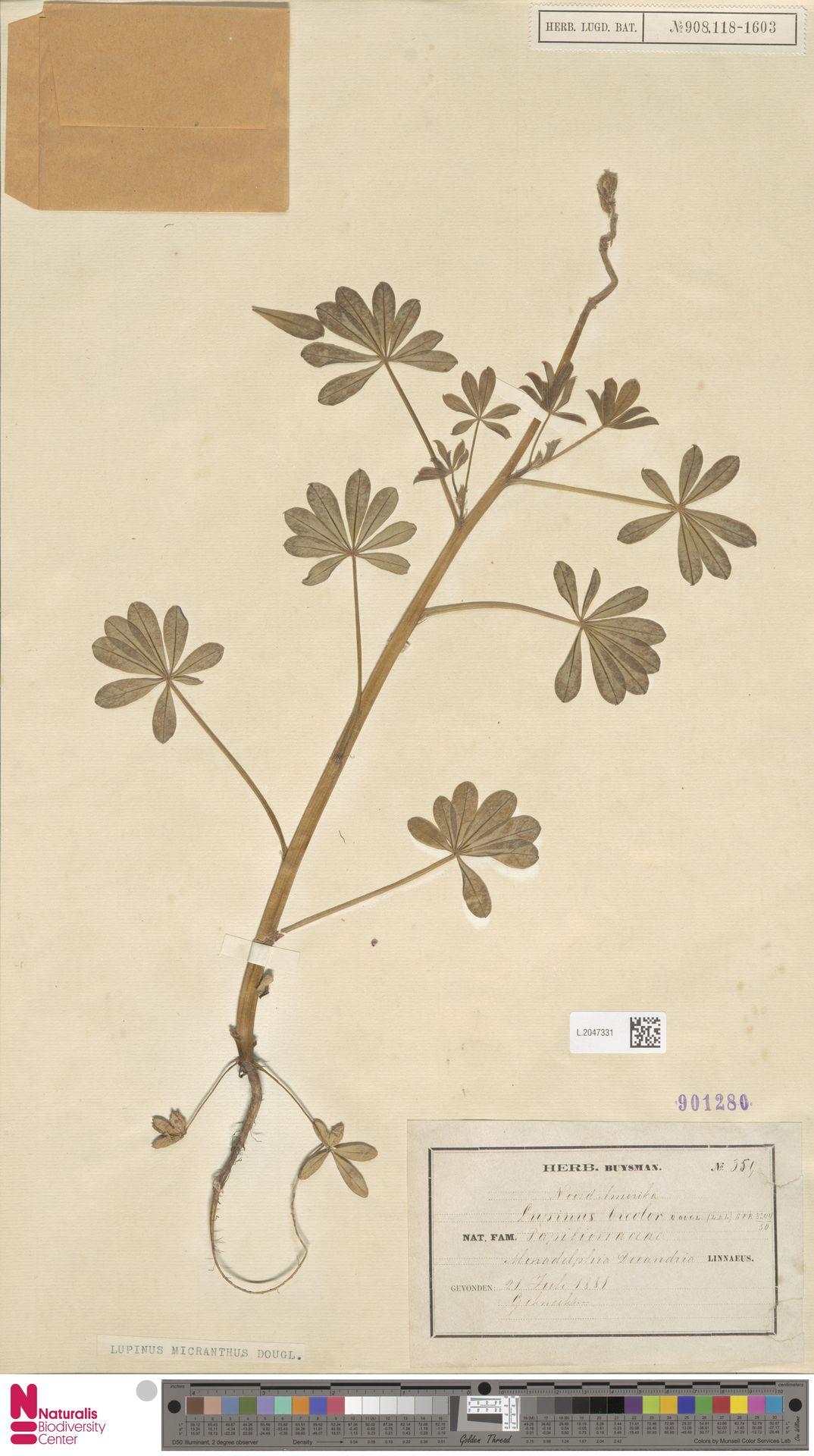 L.2047331 | Lupinus micranthus Douglas ex Lindl.