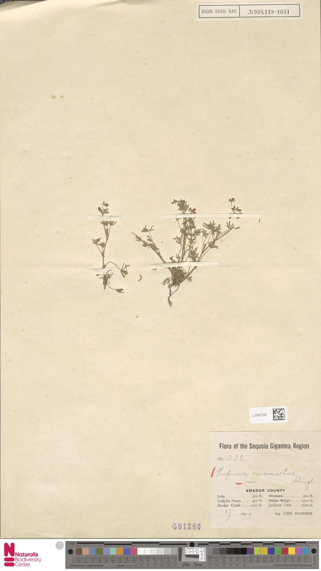 L.2047333 | Lupinus micranthus Douglas ex Lindl.