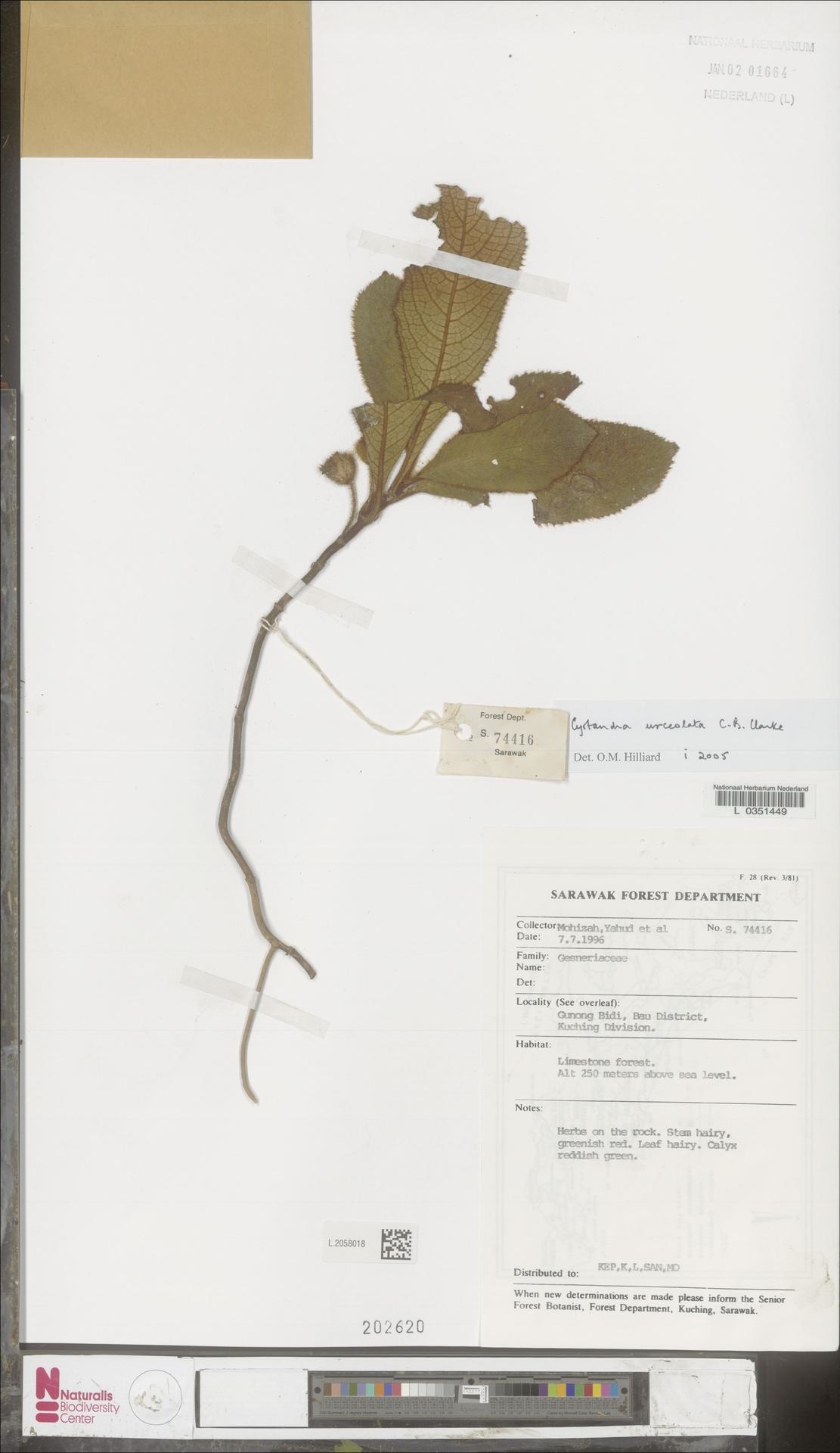 L.2058018 | Cyrtandra urceolata C.B.Clarke