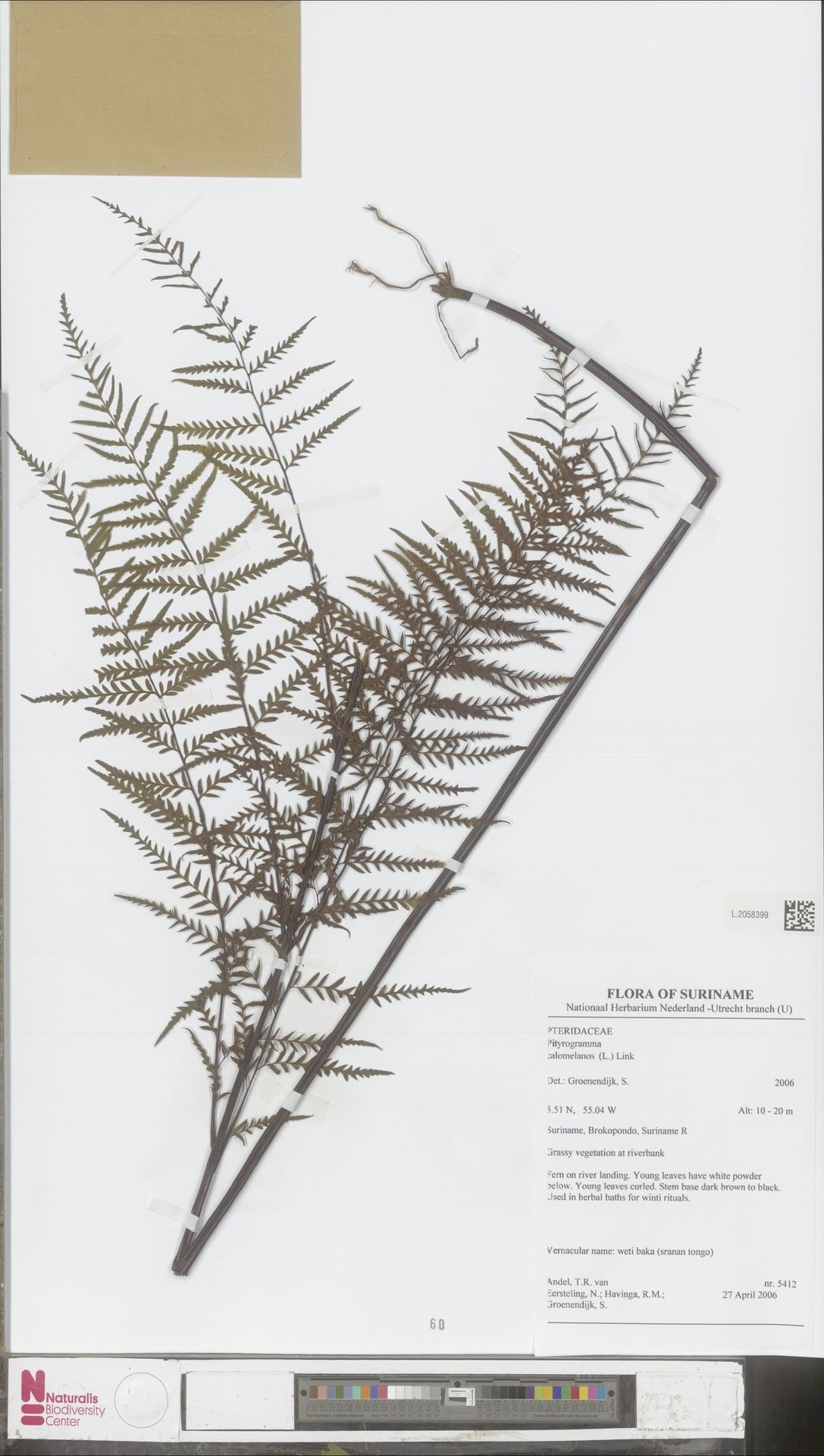 L.2058399 | Pityrogramma calomelanos (L.) Link