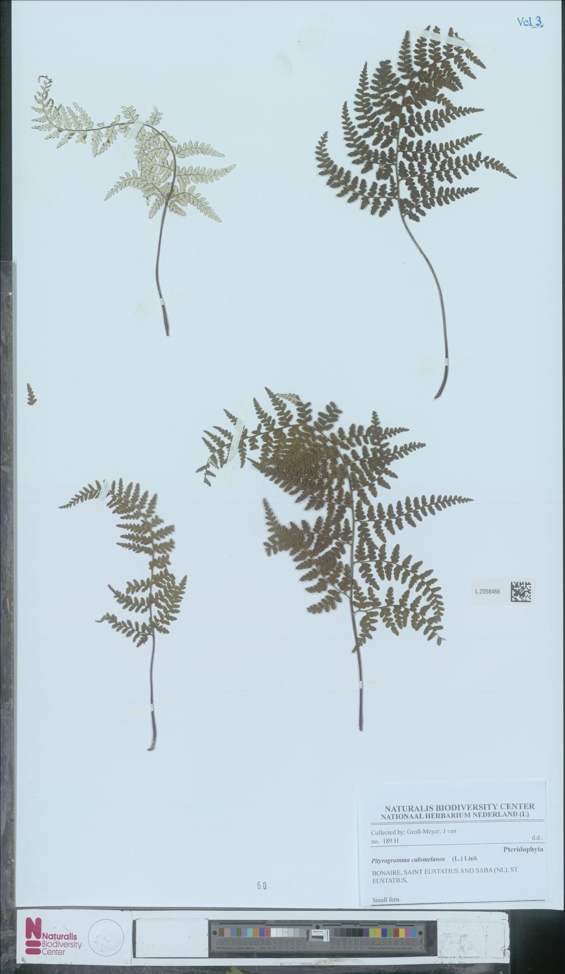 L.2058466 | Pityrogramma calomelanos (L.) Link