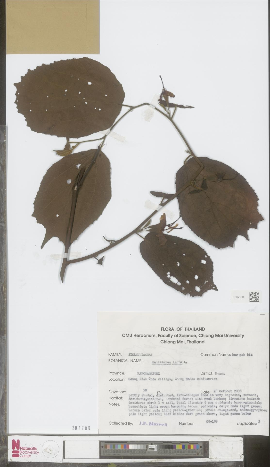 L.2058718 | Helicteres isora L.