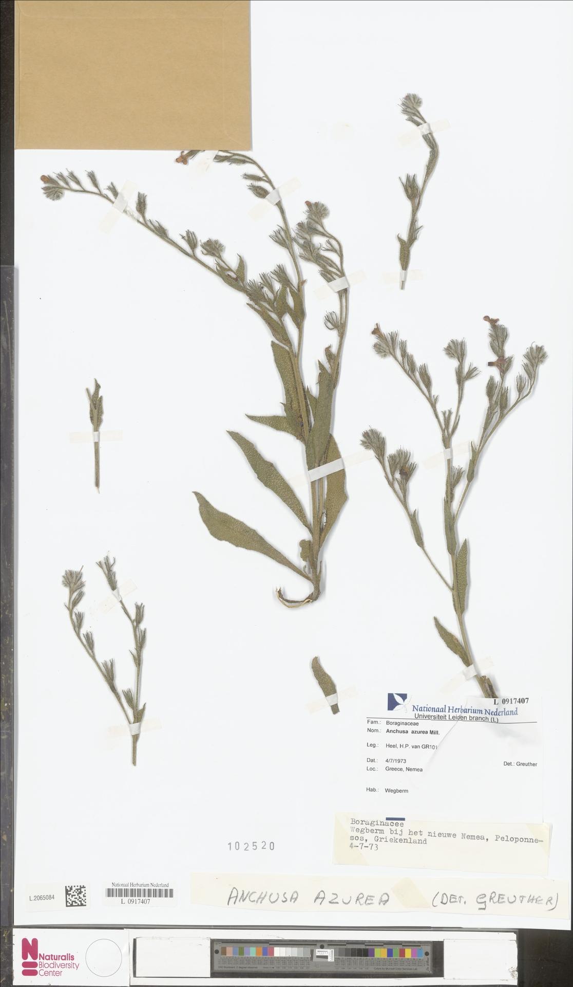L.2065084 | Anchusa azurea Mill.