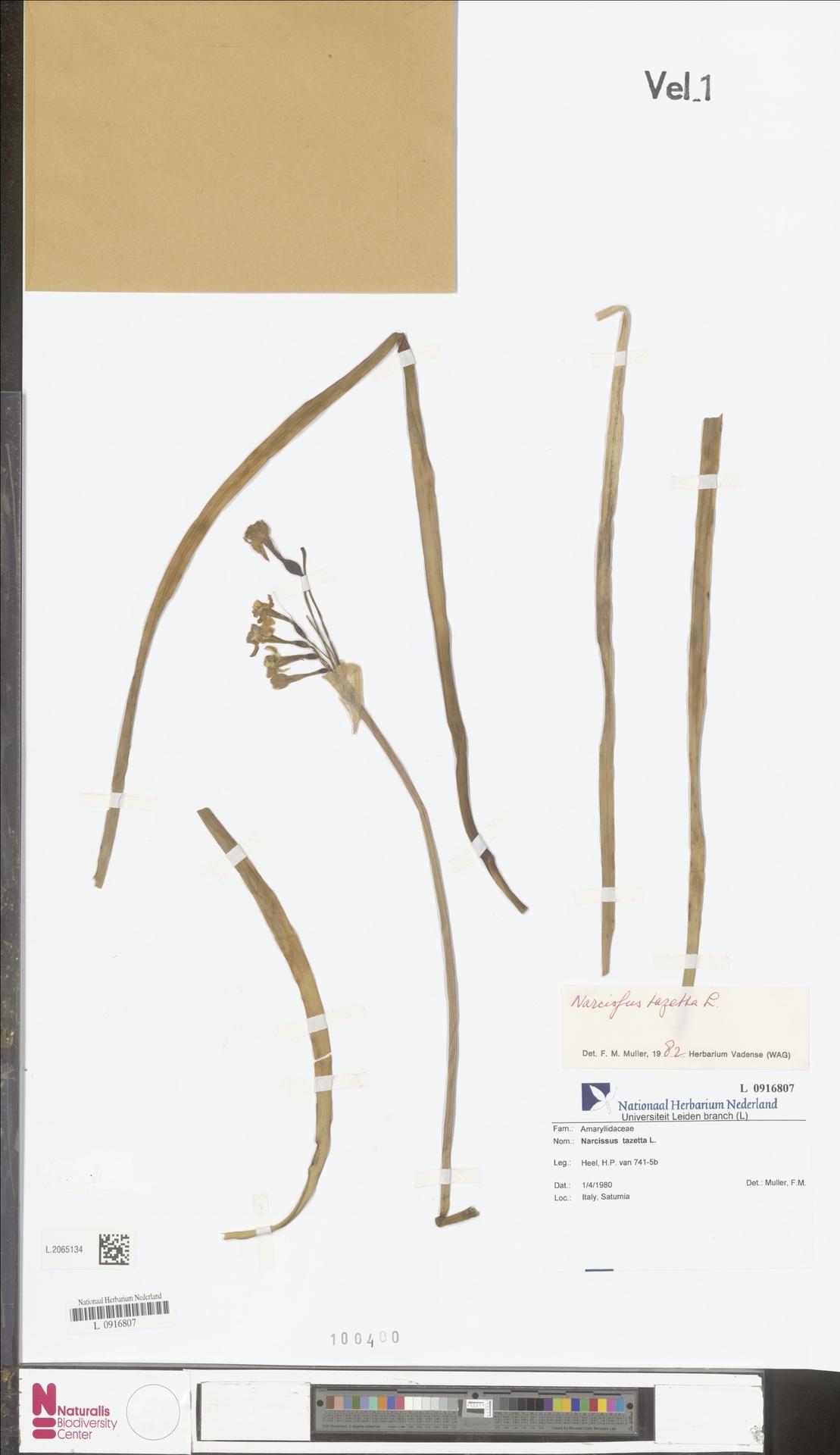L.2065134 | Narcissus tazetta L.