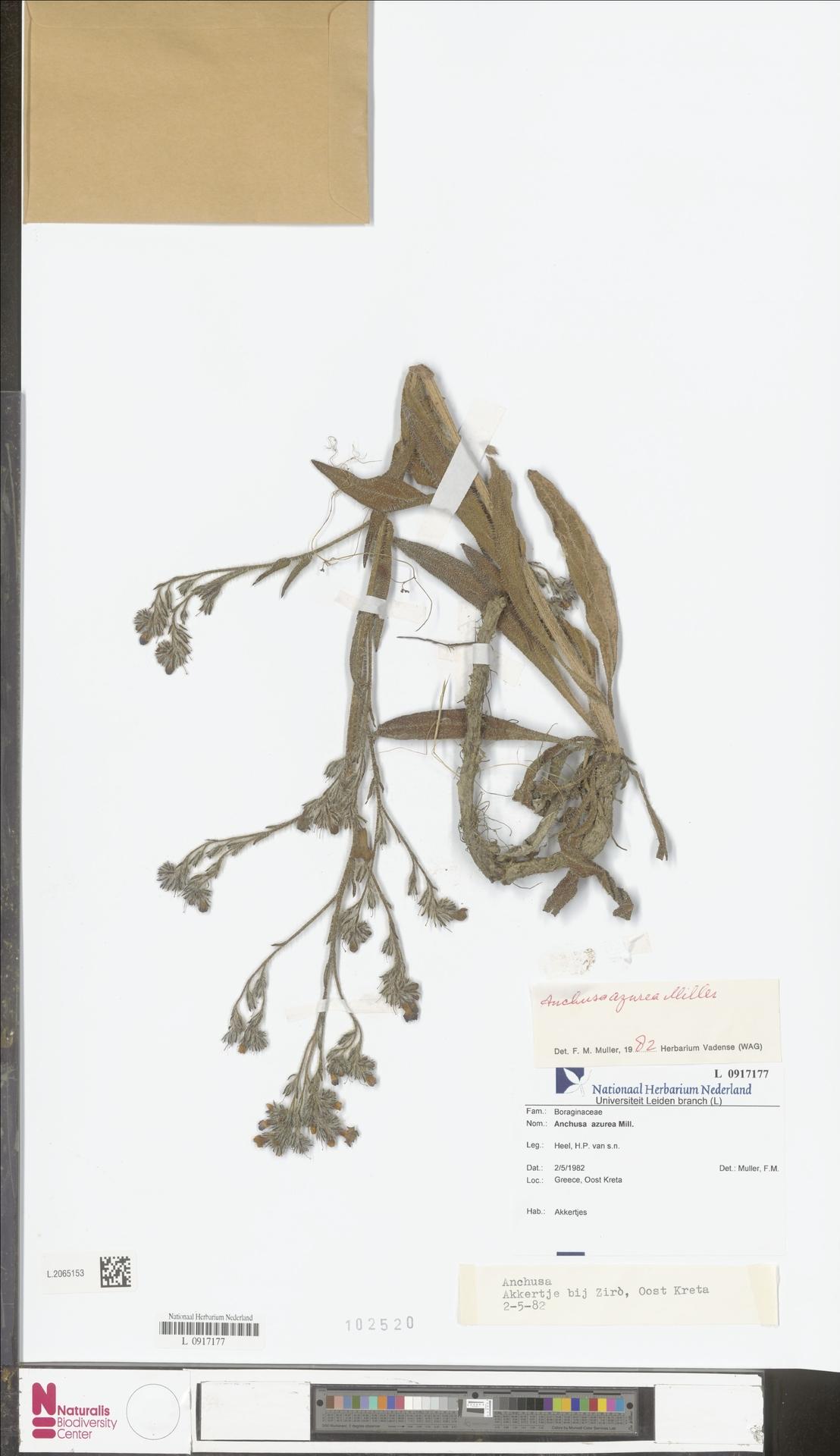 L.2065153 | Anchusa azurea Mill.