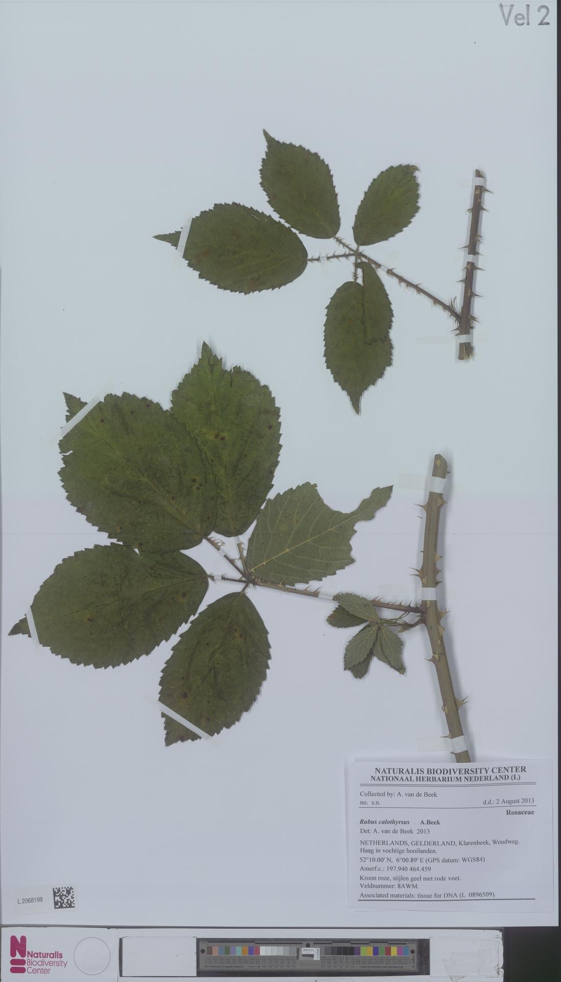L.2068198 | Rubus calothyrsus A.Beek