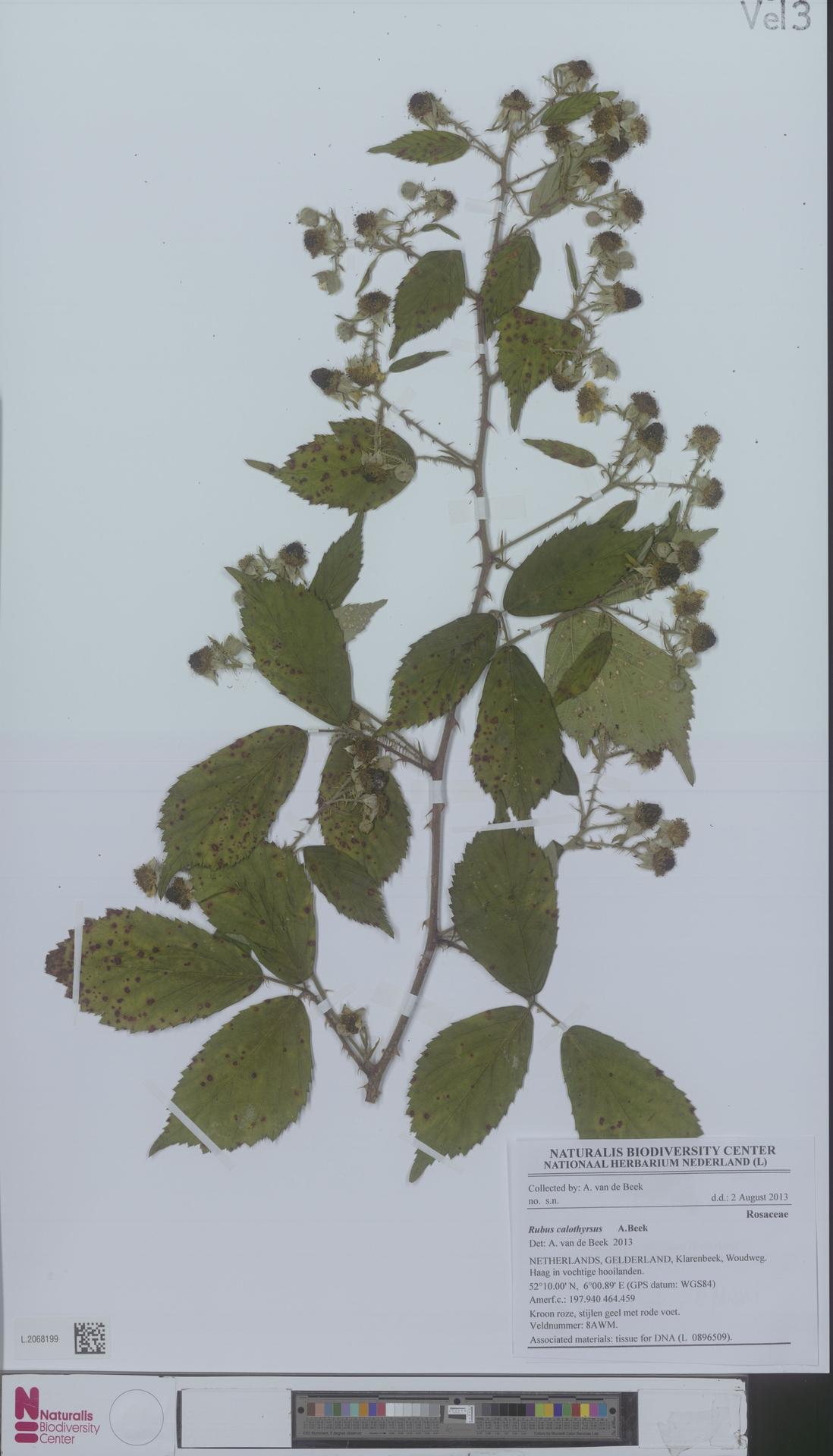 L.2068199 | Rubus calothyrsus A.Beek