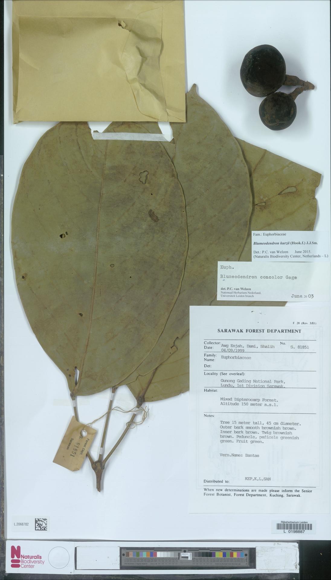 L.2068782 | Blumeodendron kurzii (Hook.f.) J.J.Sm.