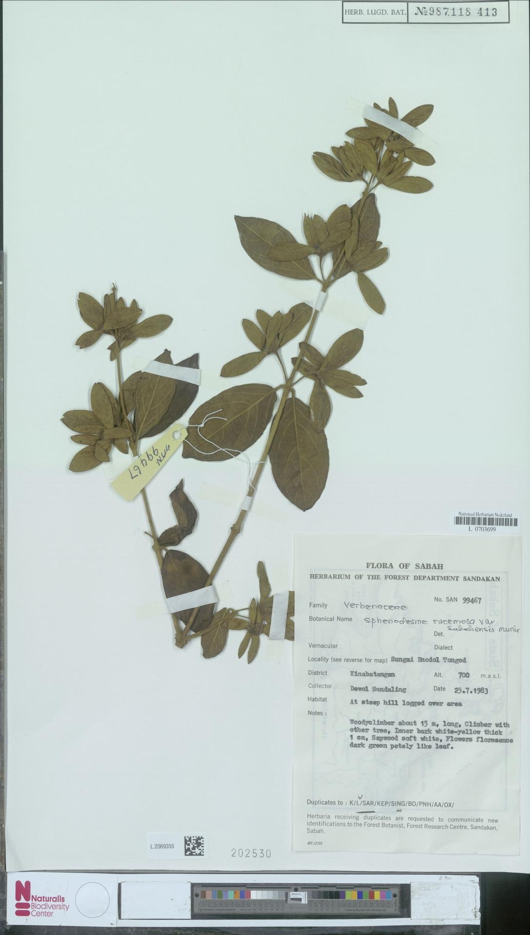 L.2069355 | Sphenodesme racemosa var. sabahensis Munir