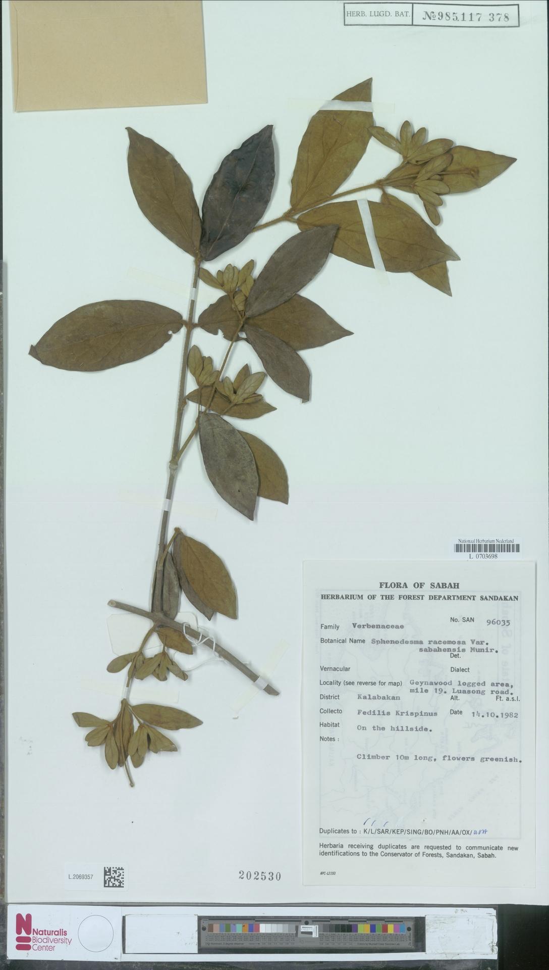 L.2069357 | Sphenodesme racemosa var. sabahensis Munir