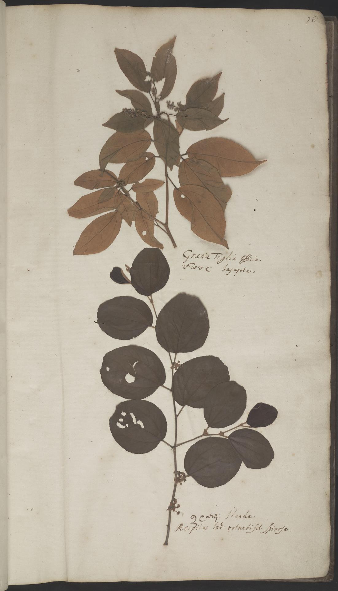 L.2070113 | Croton tiglium L.