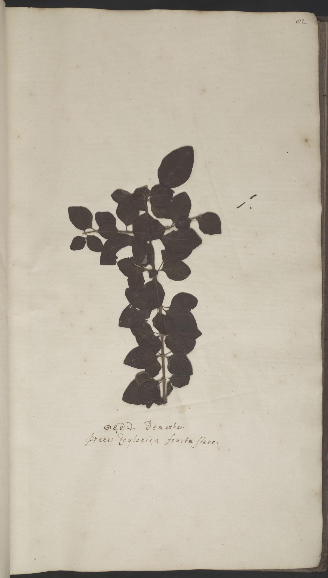 L.2070120 | Gmelina asiatica L.