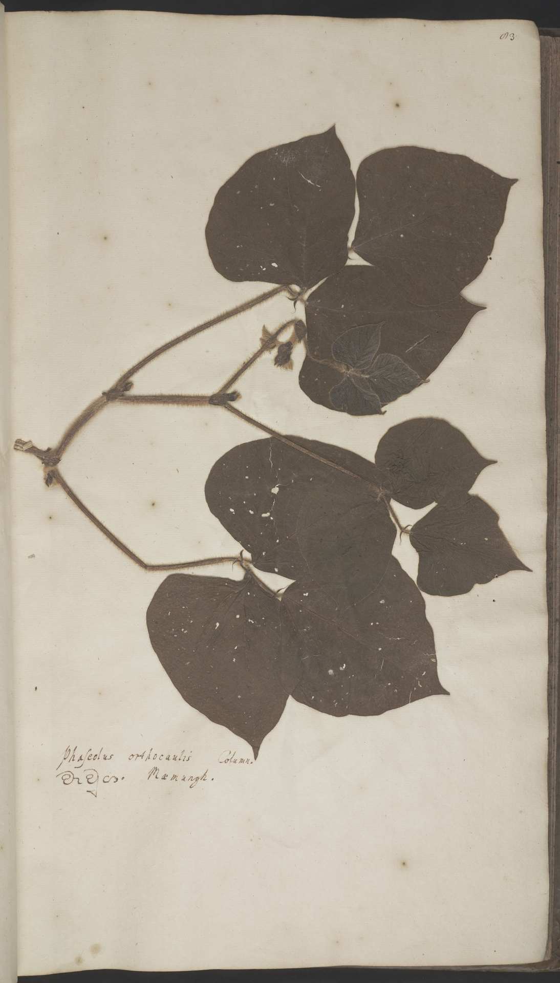 L.2070122 | Vigna radiata (L.) R.Wilczek