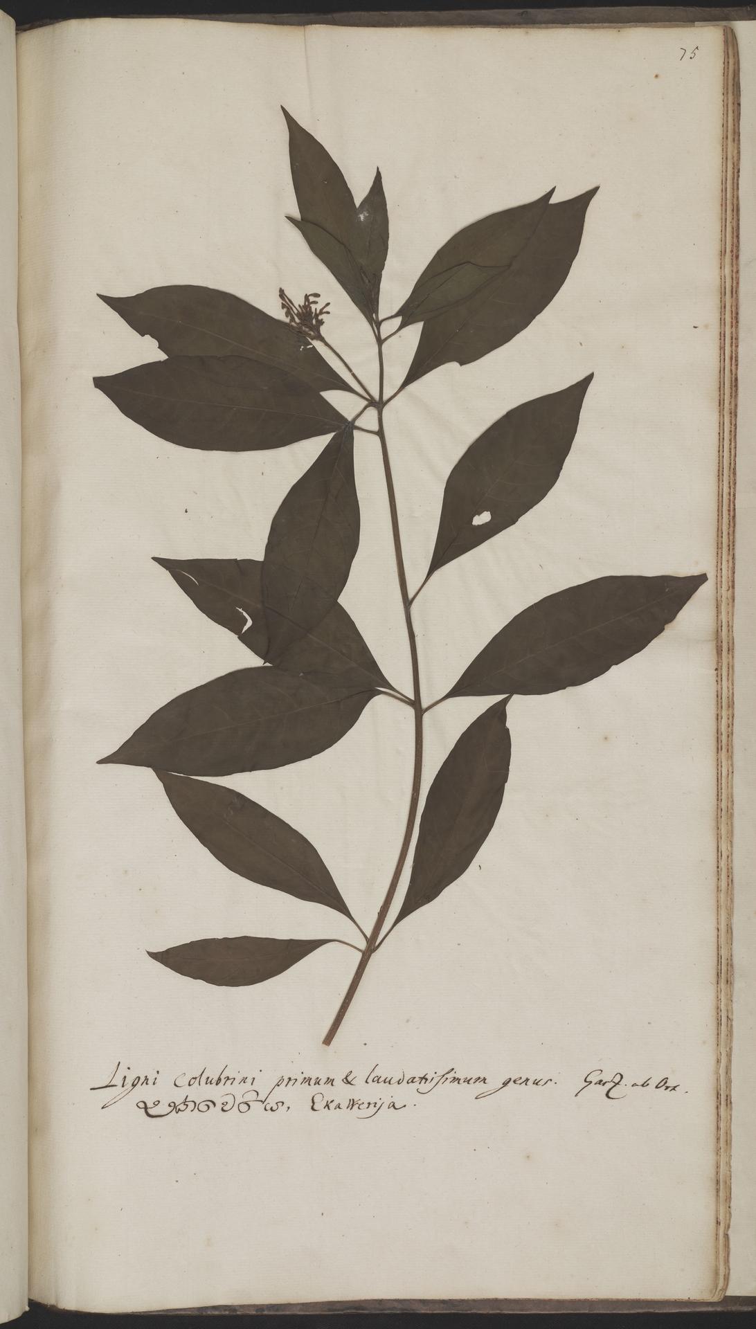 L.2070123 | Rauvolfia serpentina (L.) Benth. ex Kurz
