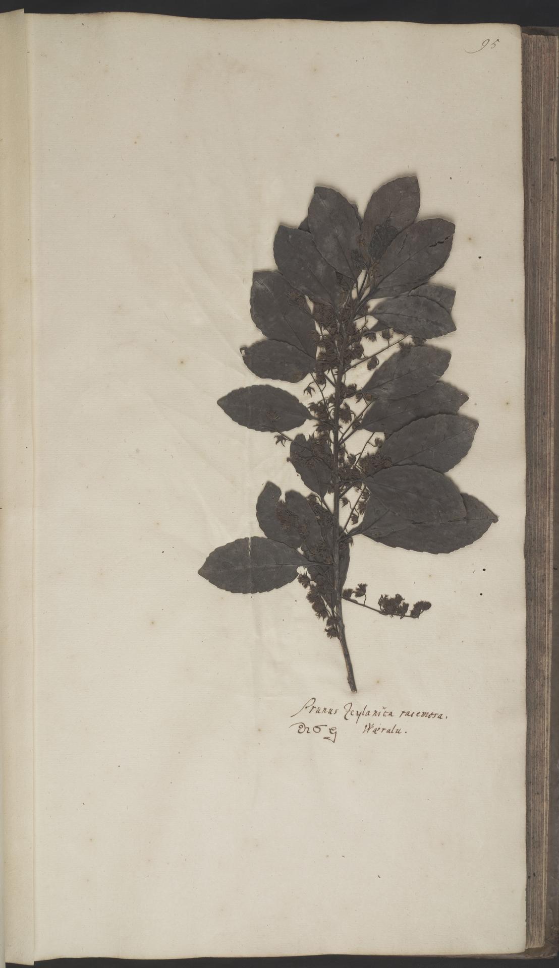 L.2070126 | Elaeocarpus serratus Blume