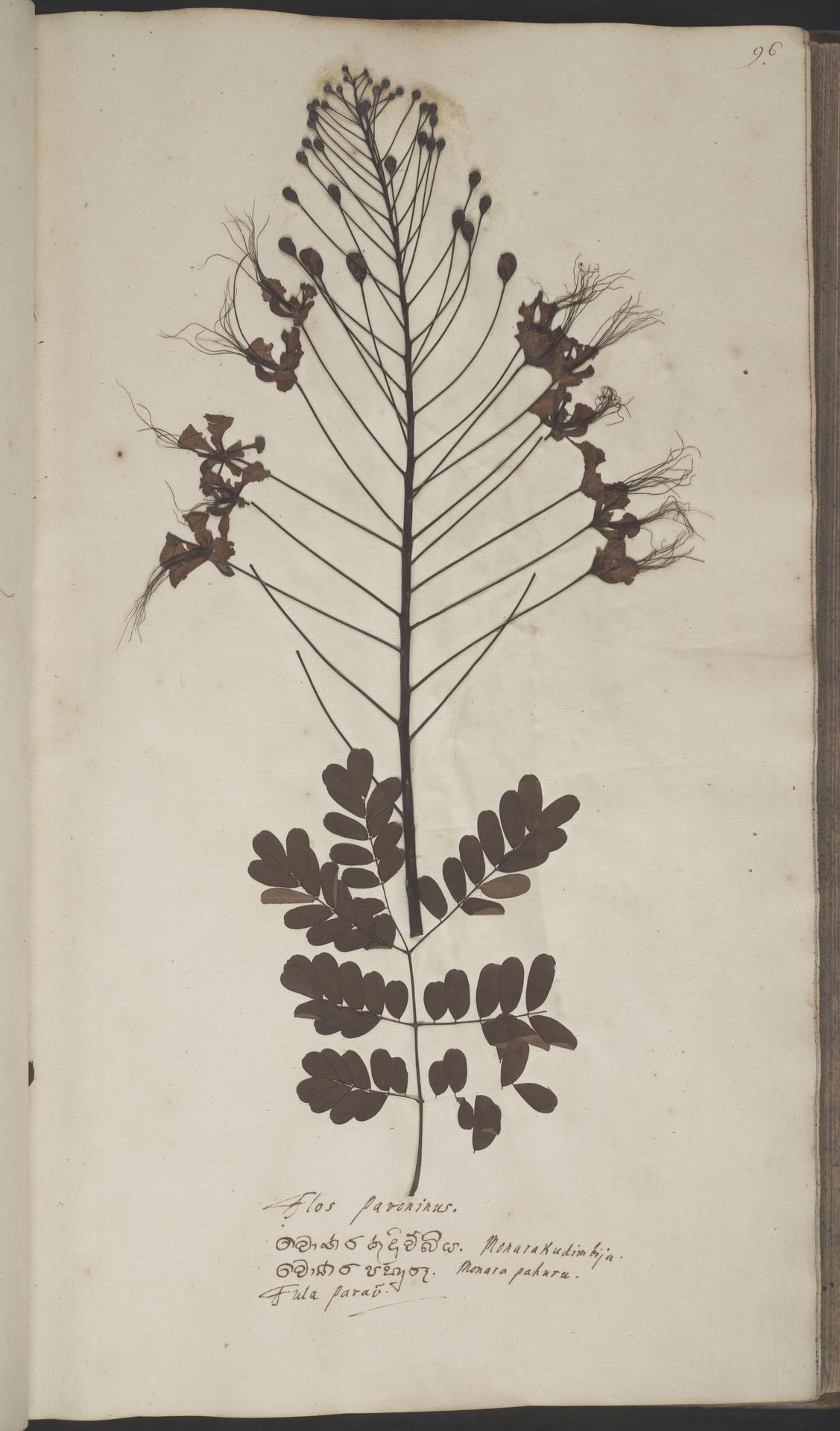 L.2070128 | Caesalpinia pulcherrima (L.) Sw.