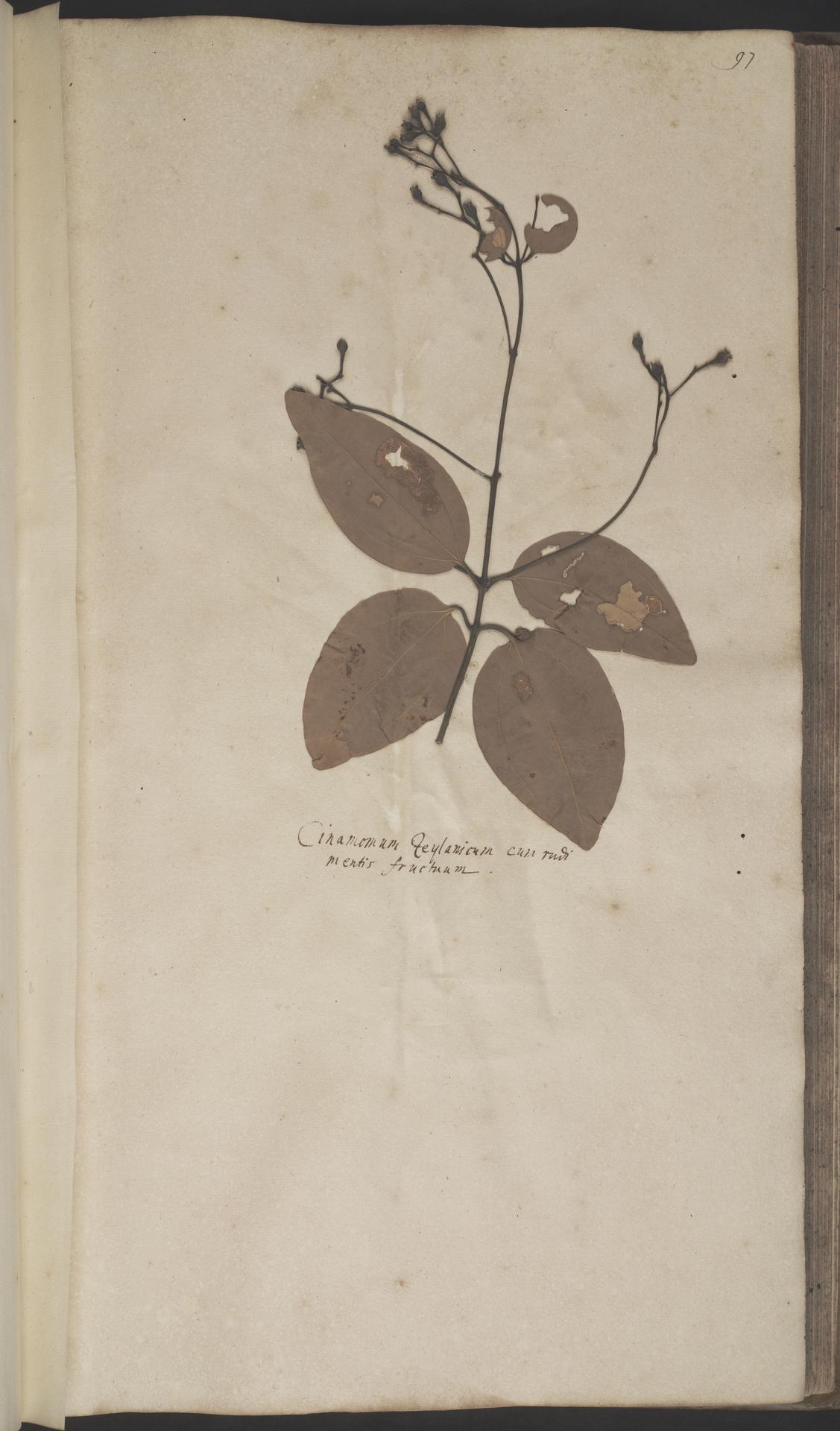 L.2070129 | Cinnamomum verum J.Presl