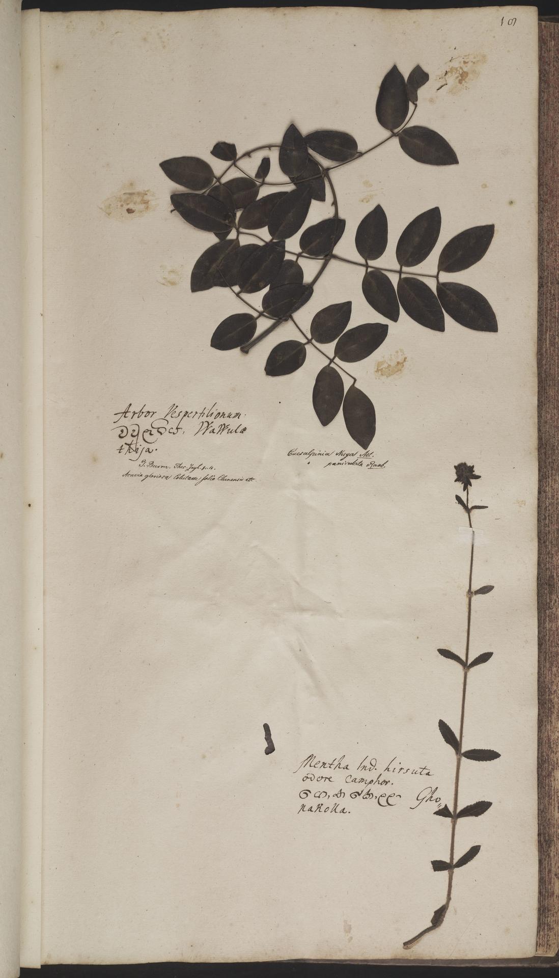 L.2070135   Caesalpinia crista L.