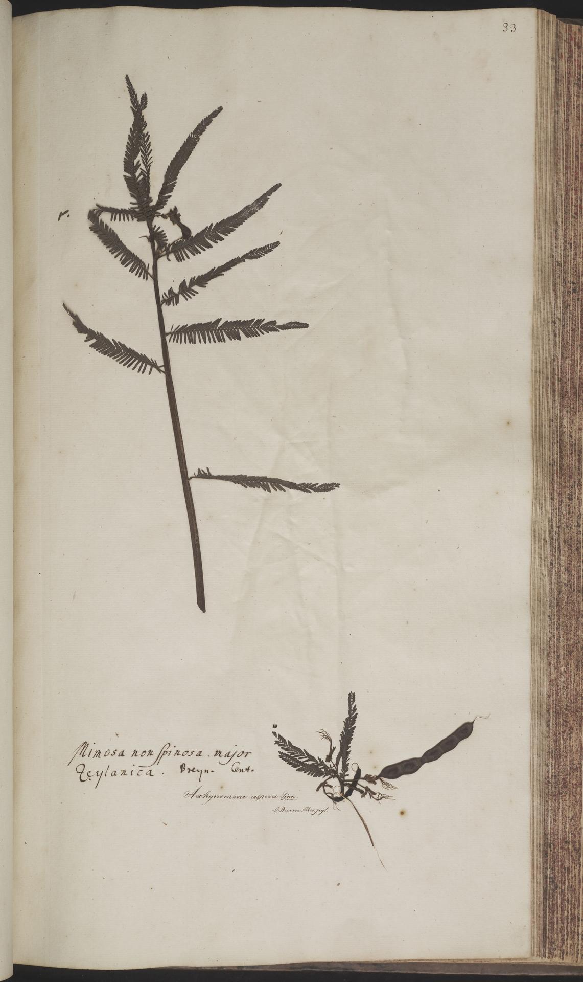 L.2070153 | Aeschynomene aspera L.