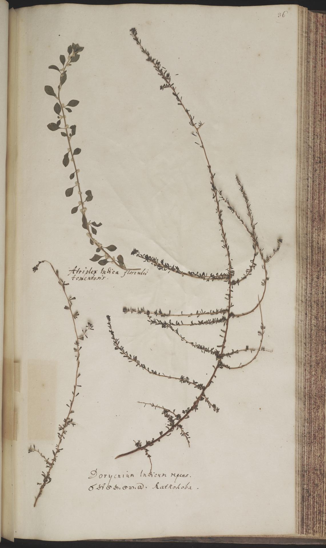 L.2070158 | Indigofera aspalathoides DC.