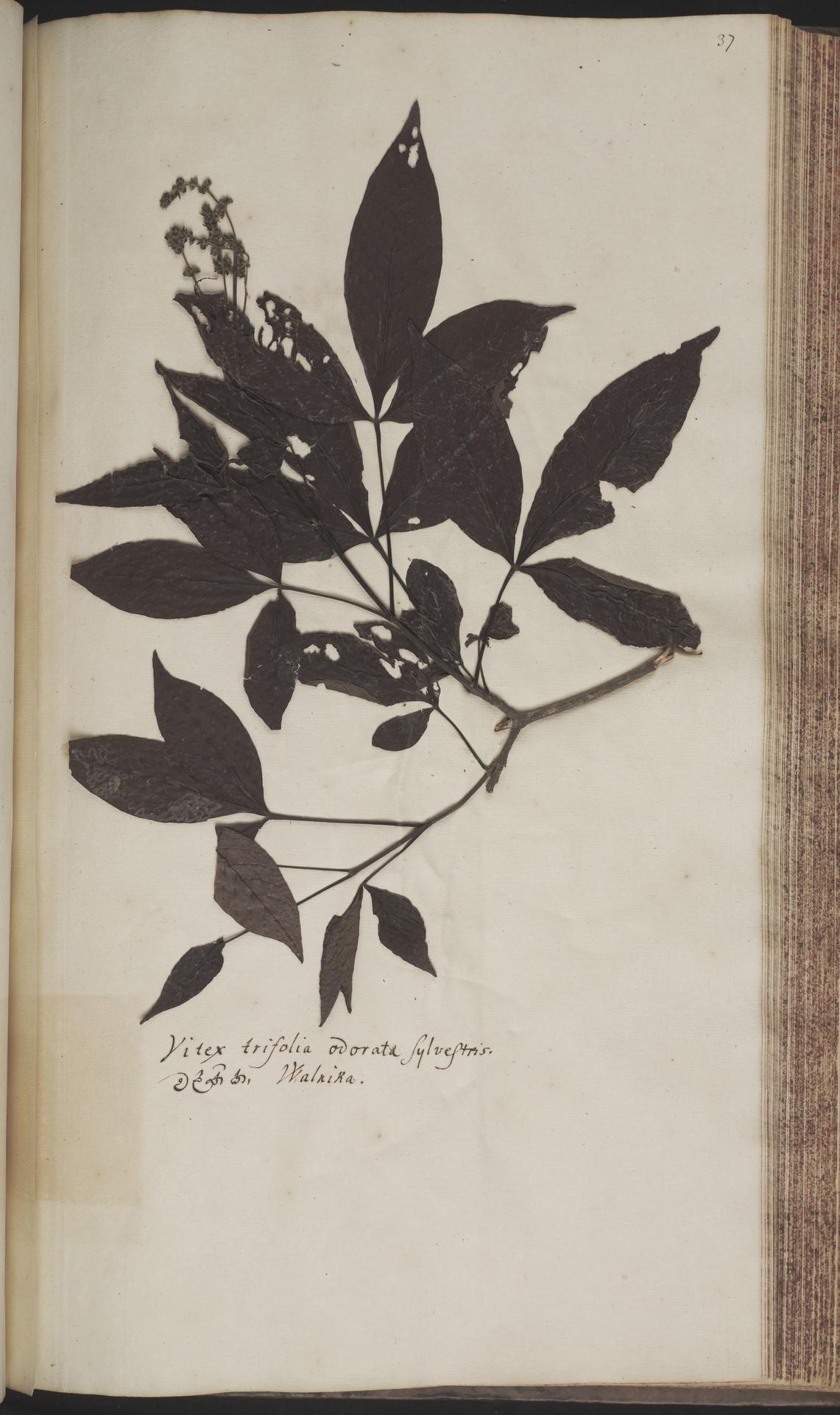 L.2070159 | Vitex altissima L.f.